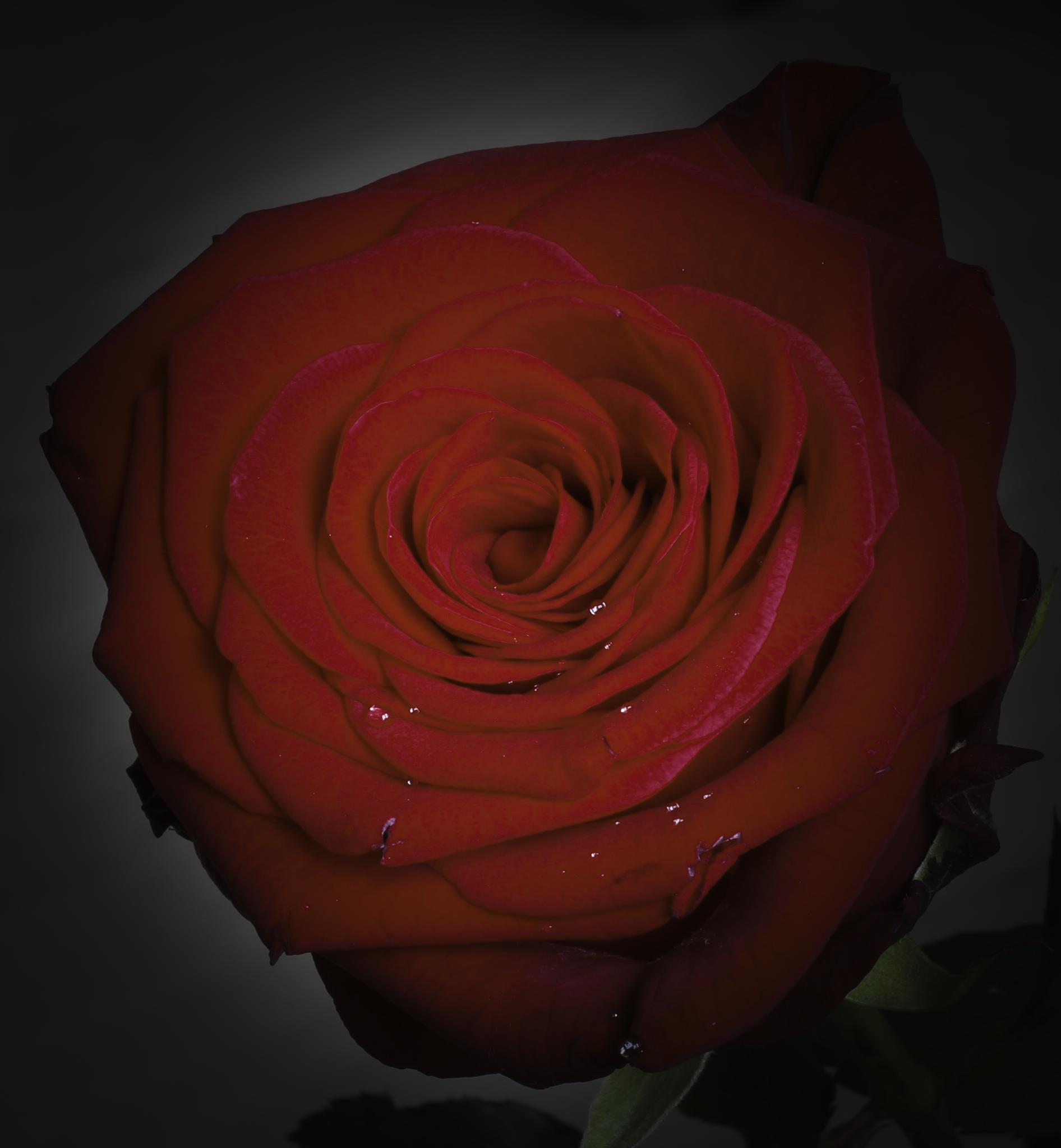 Rose of the Day by Olle Möller