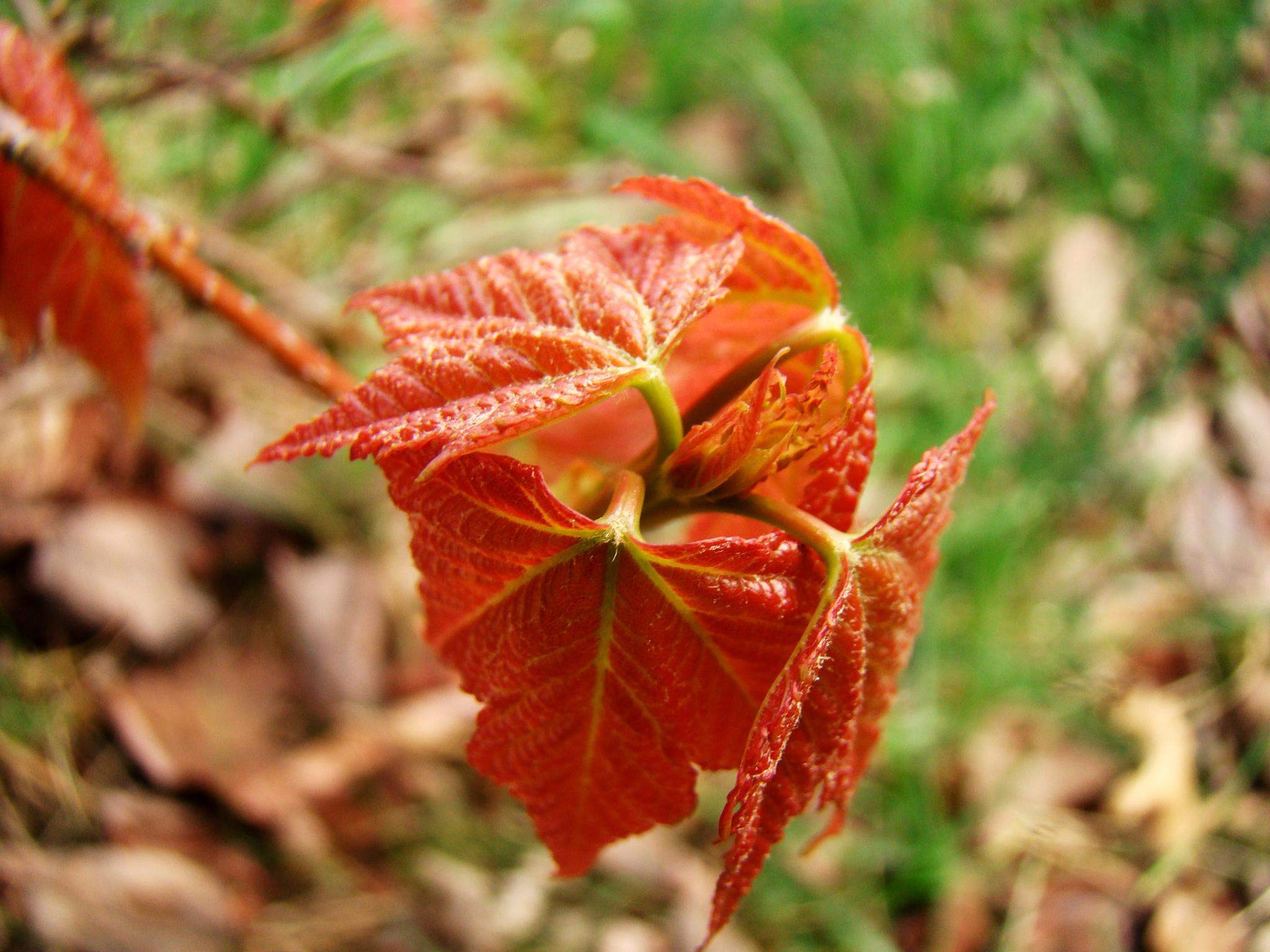 Photo in Nature #nature #leaf #red #fall