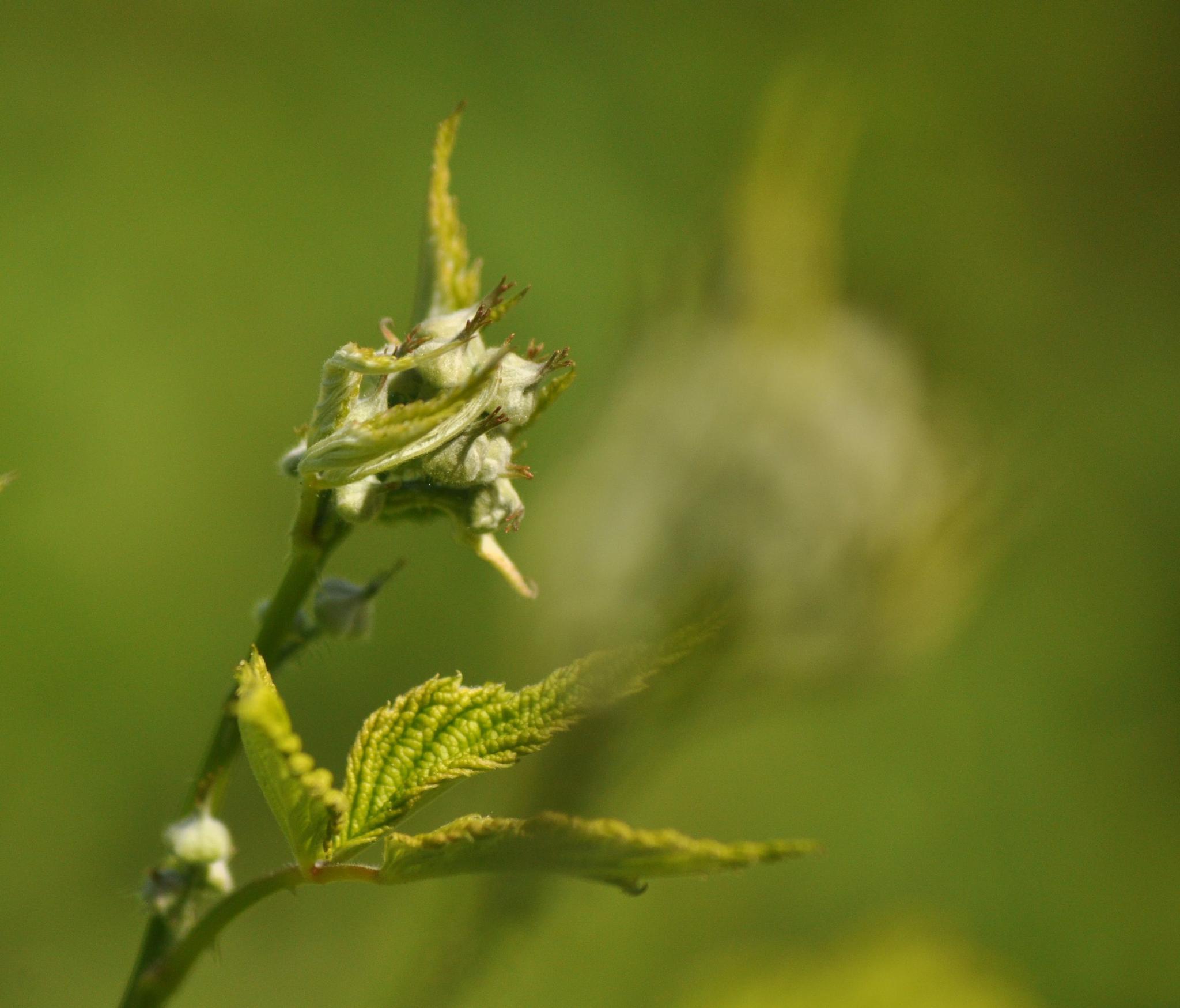 Wild flower bud by Cynthia Hutton