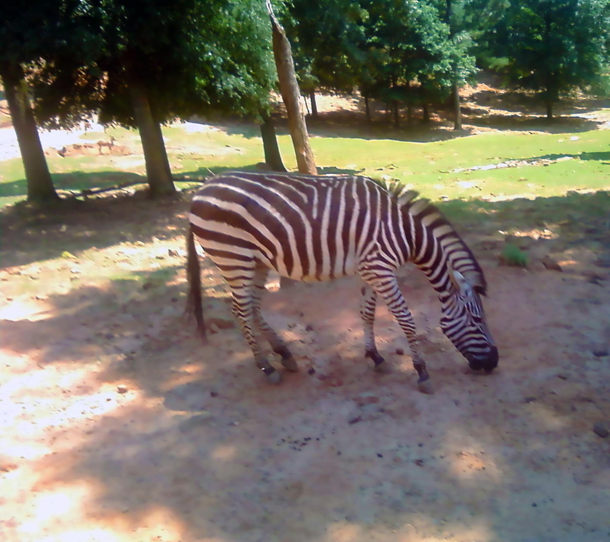 Grants Zebra by evelyn.vinson