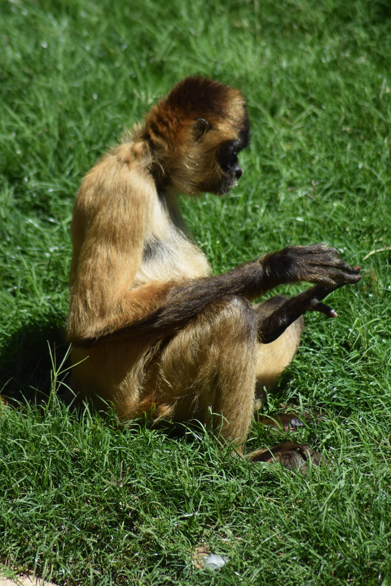 Gibbon by evelyn.vinson