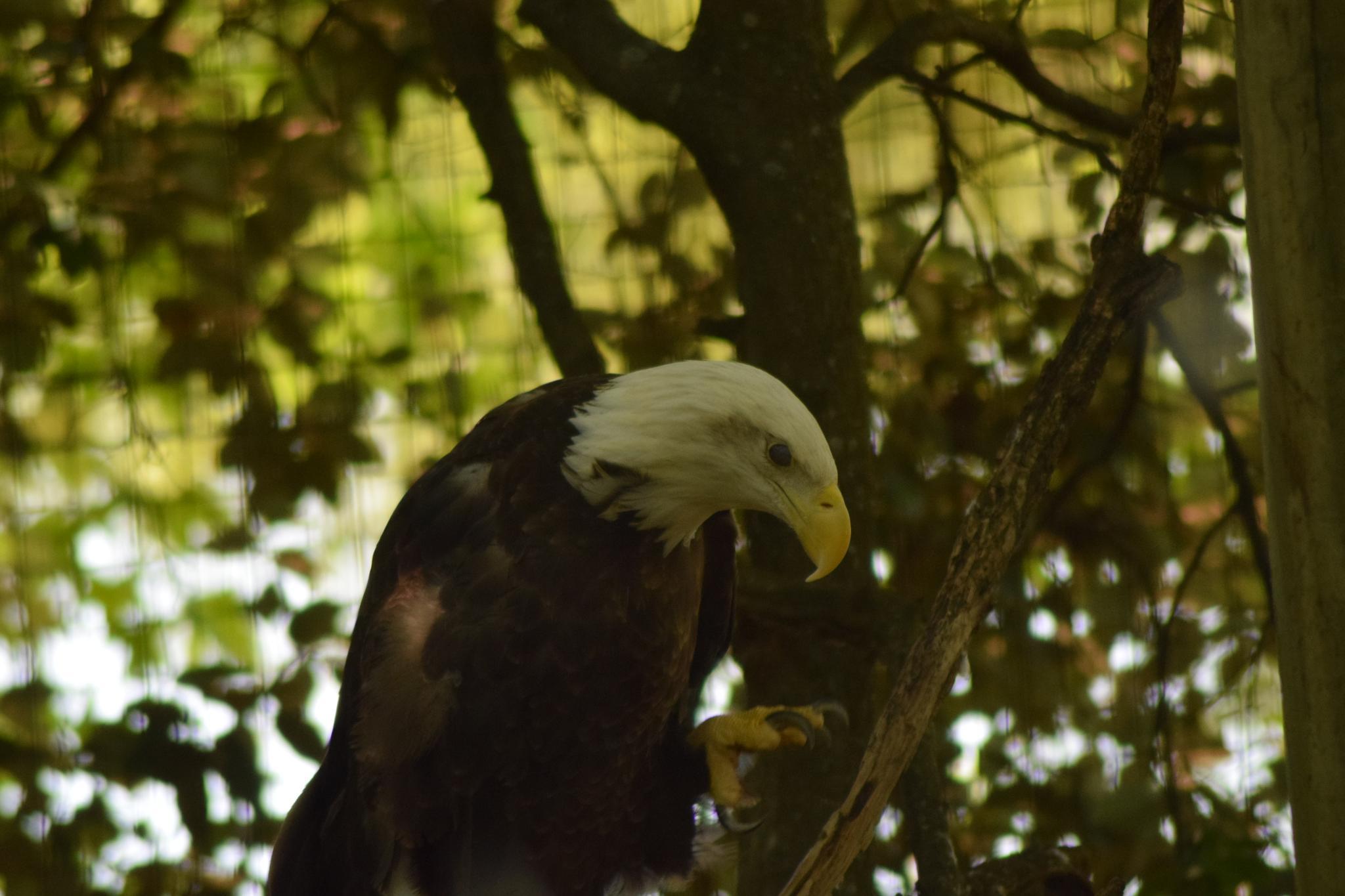 Bald Eagle by evelyn.vinson