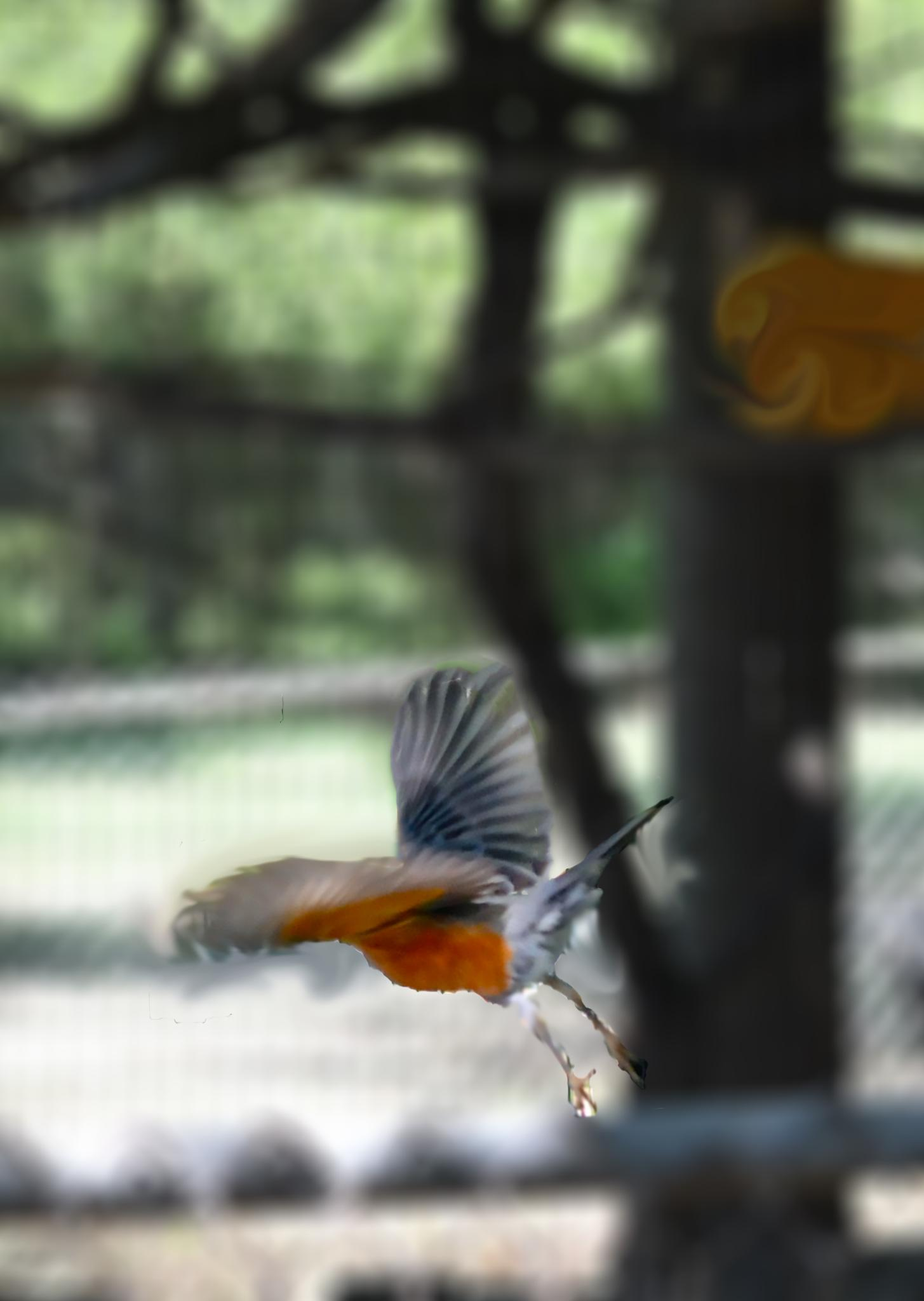 Robin in Flight by evelyn.vinson