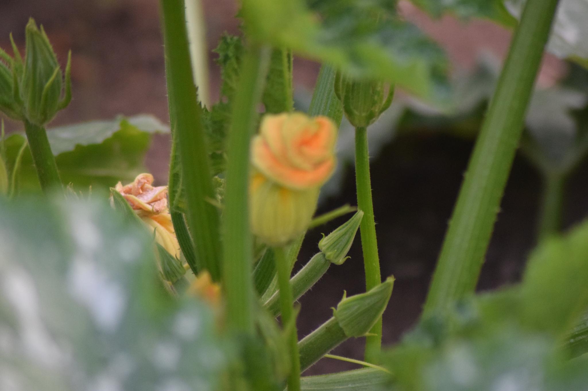 zucchini flower by evelyn.vinson