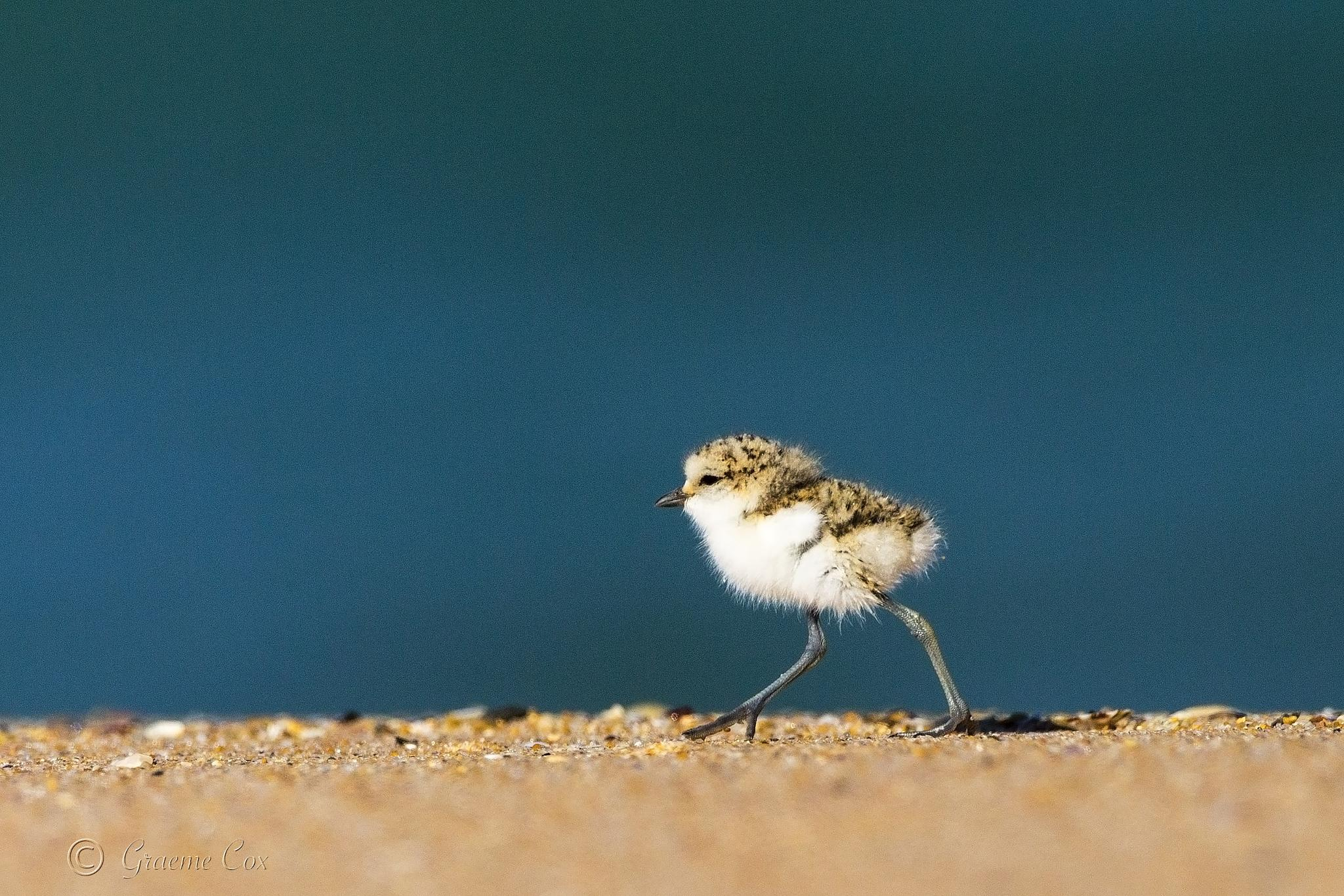 On the Run ( red-capped plover chick) large crop by Graeme Cox
