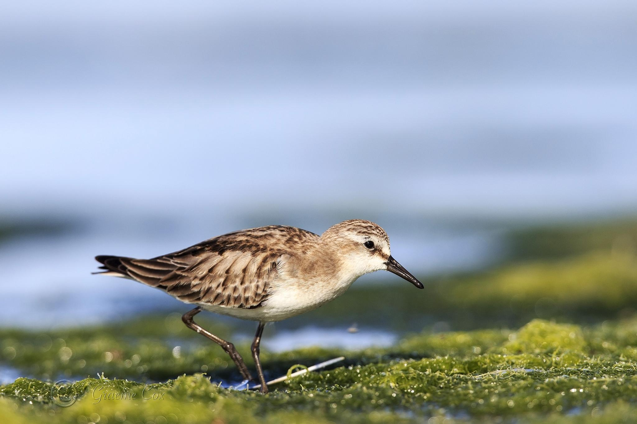 Red-necked stint by Graeme Cox