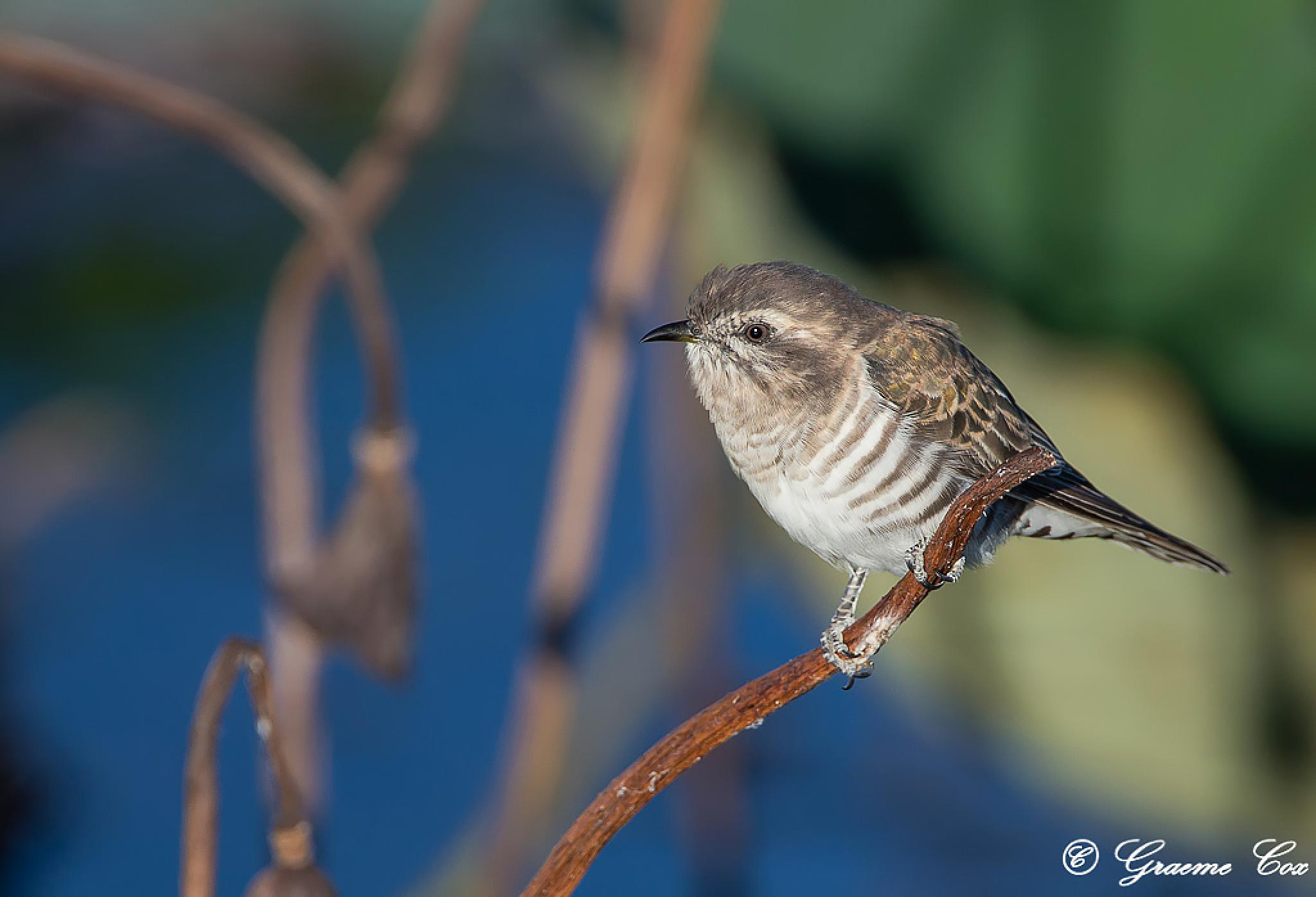 Horsfield's  cuckoo by Graeme Cox