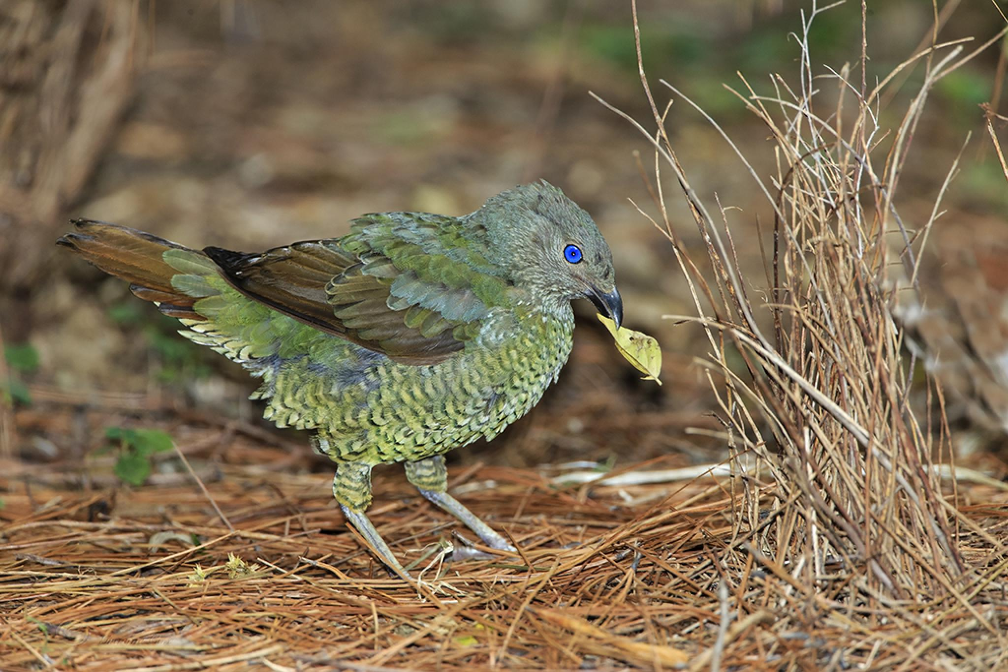 The satin bowerbird (Young Male) by Graeme Cox
