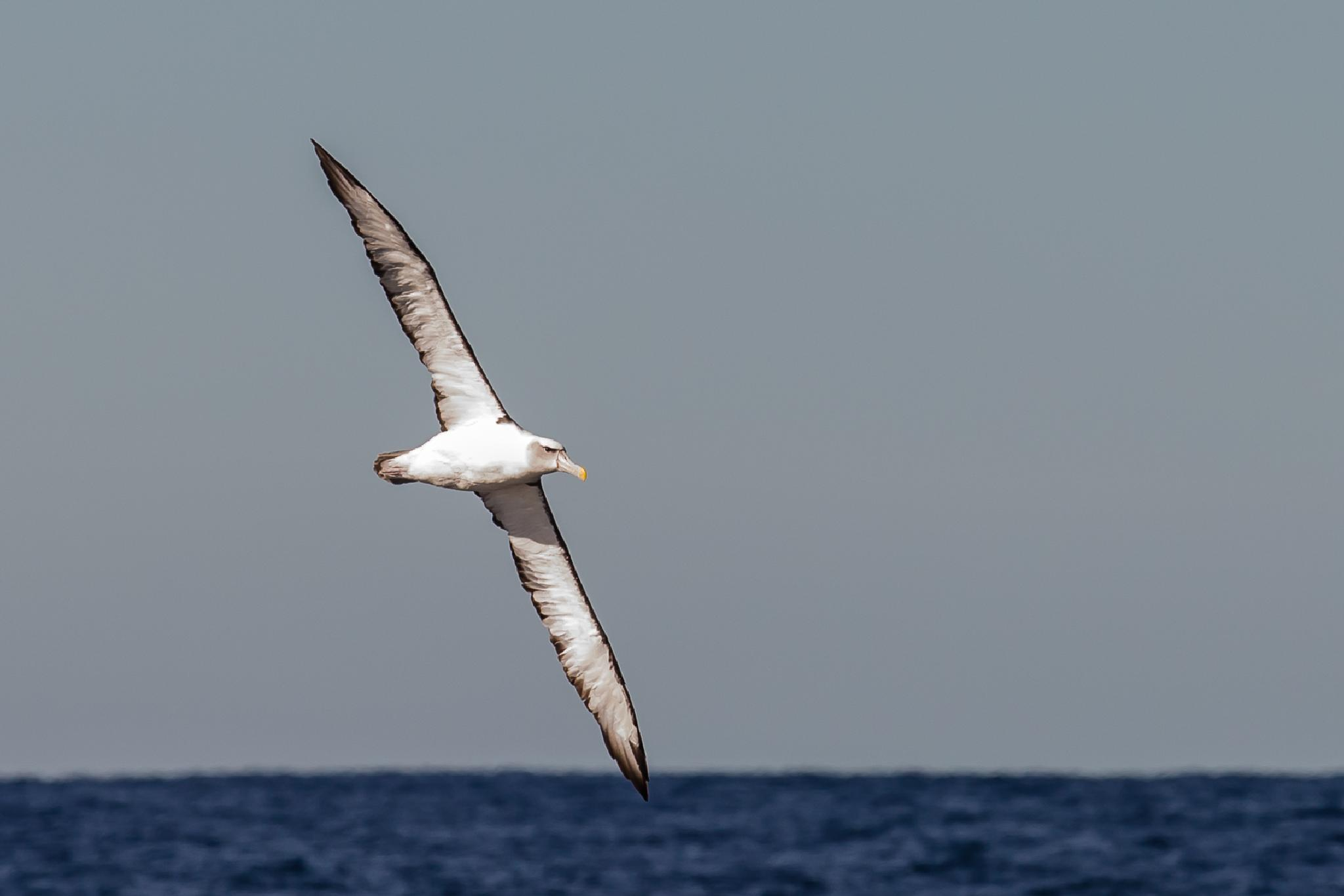Black Browed Albatross by Graeme Cox