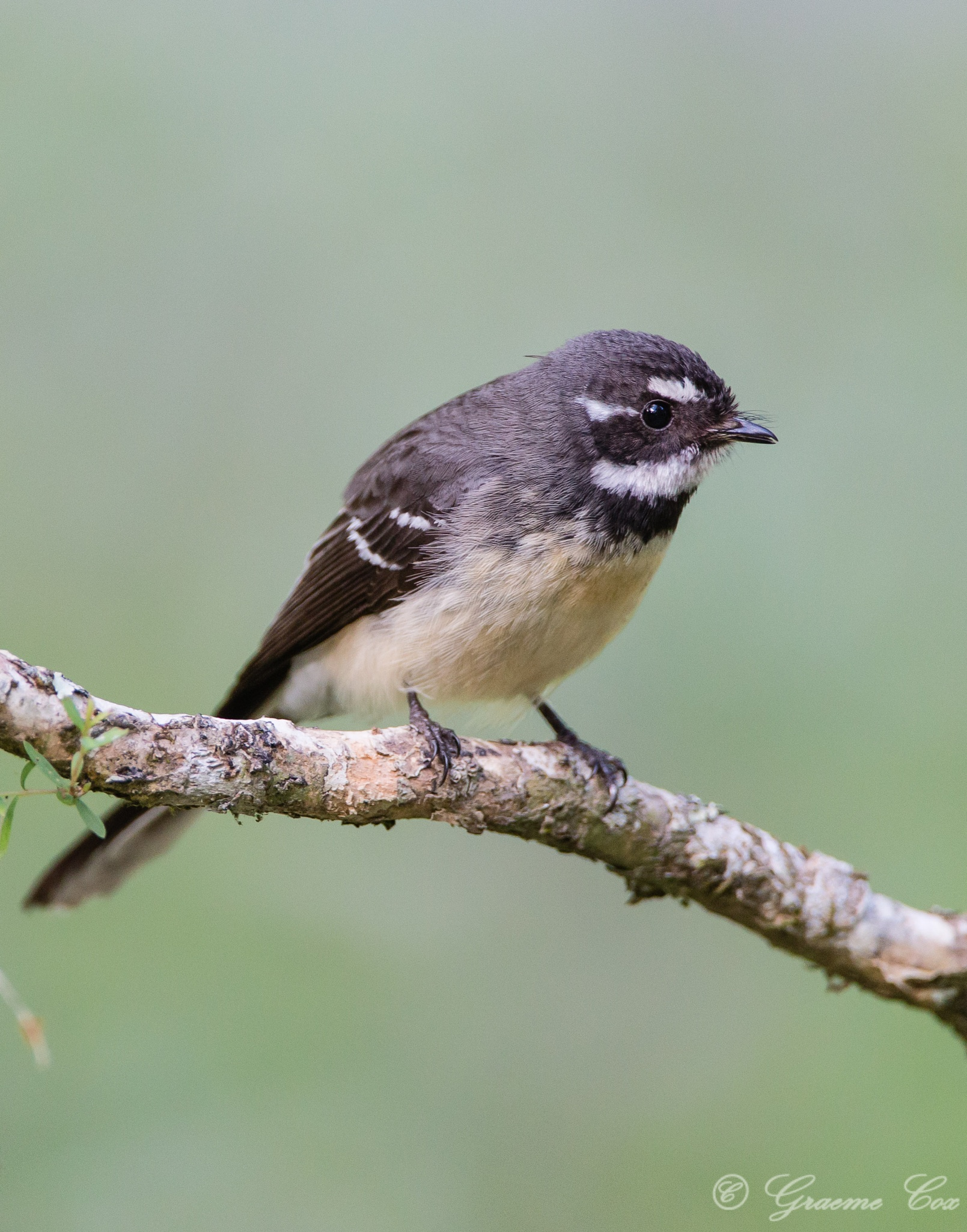 The grey fantail (Rhipidura albiscapa)  by Graeme Cox