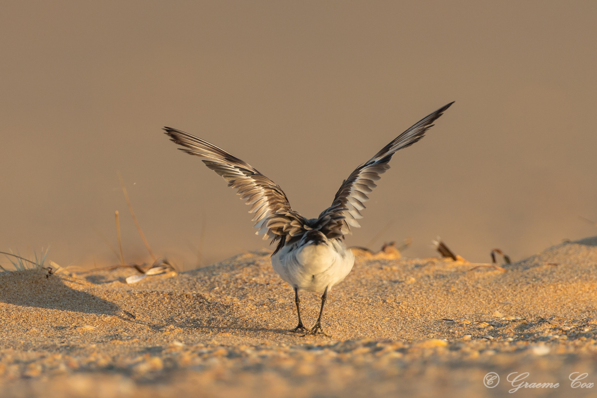 Away..( The red-necked stint (Calidris ruficollis) ) by Graeme Cox