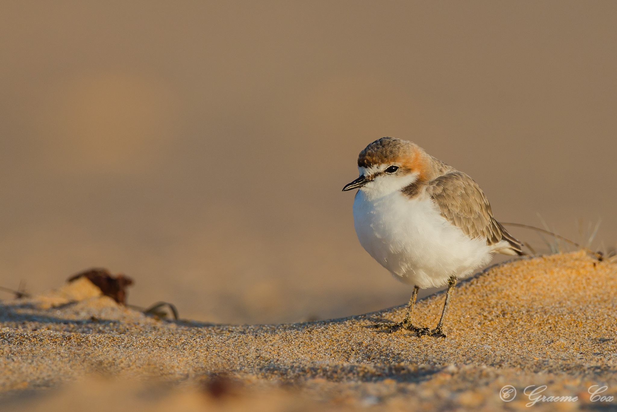 The red-capped plover (Charadrius ruficapillus) by Graeme Cox