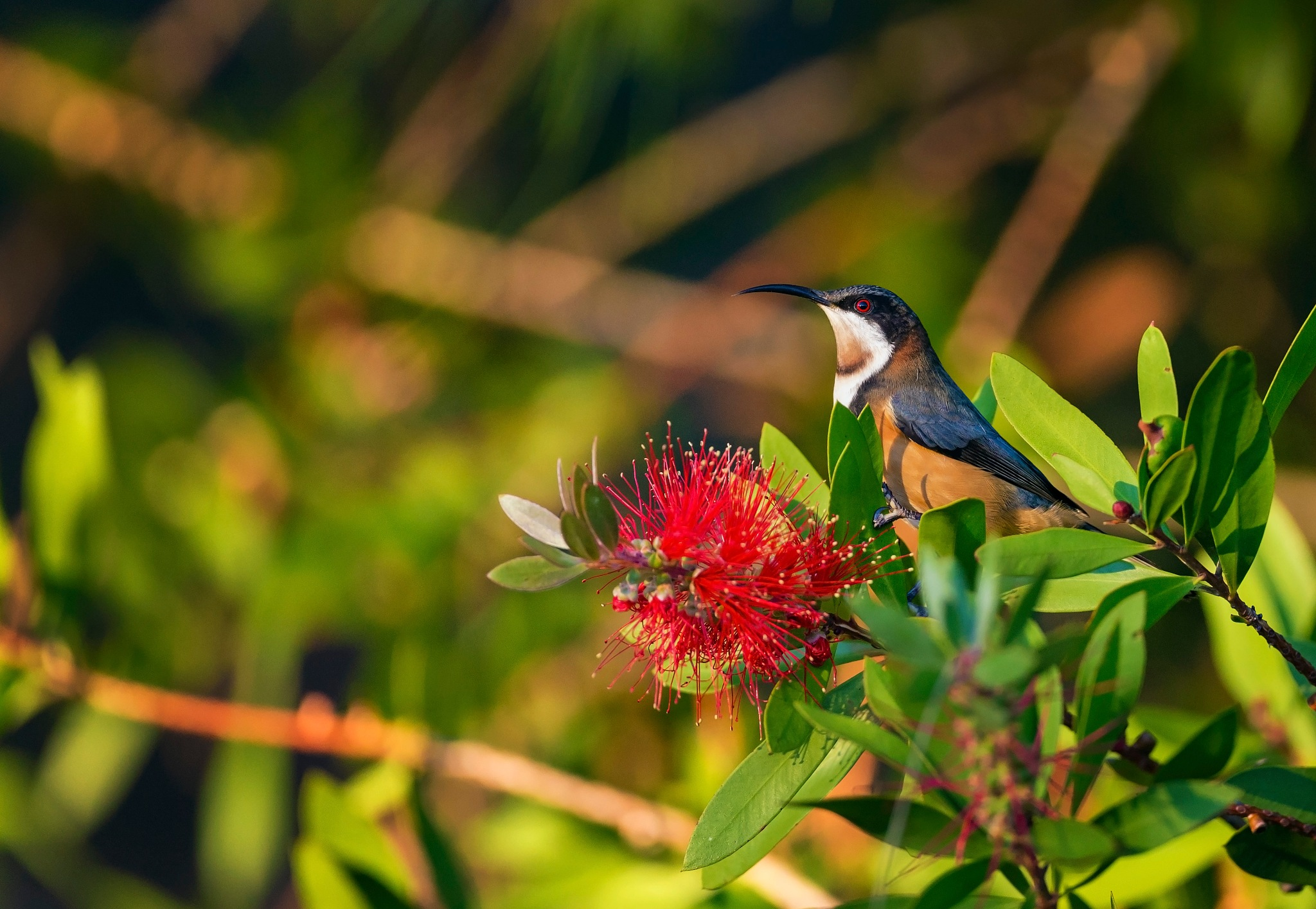 The eastern spinebill by Graeme Cox