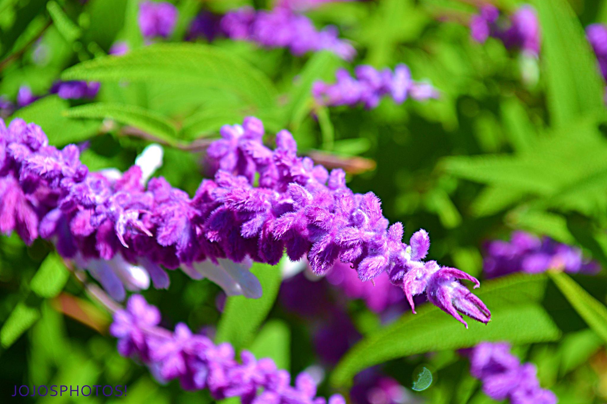 Purple Flower by jojowilbarger