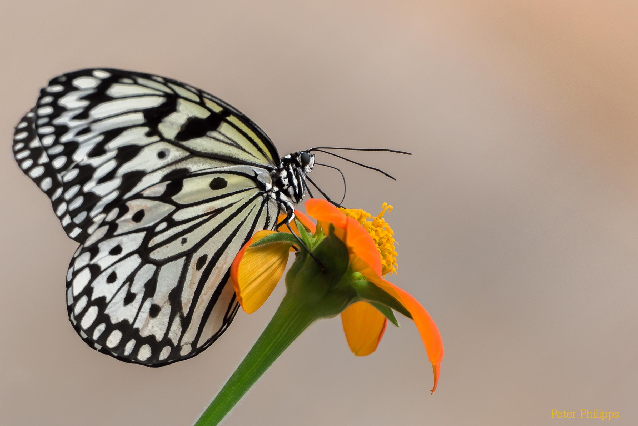 Butterfly by PeterPhilipps