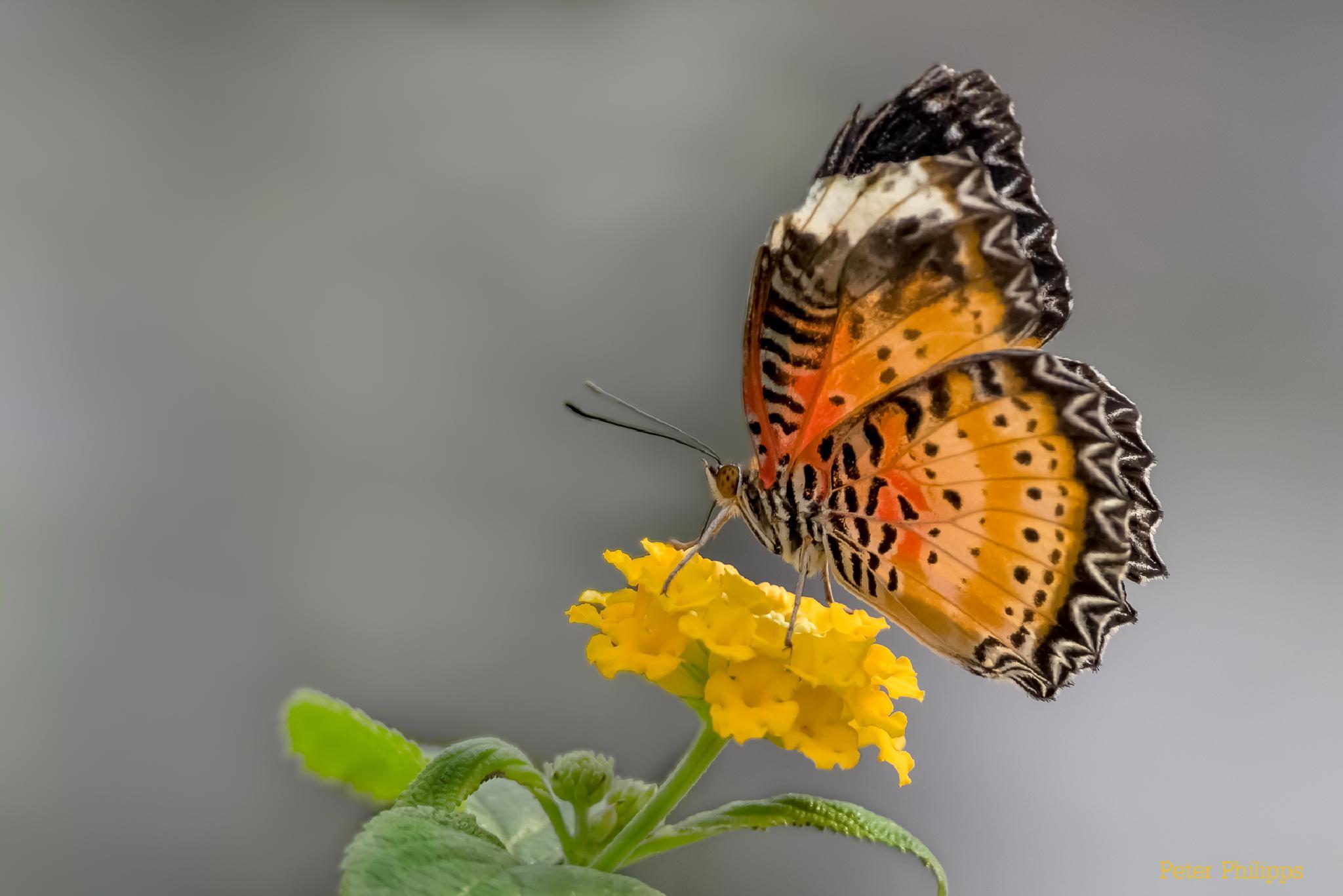 Butterfly II by PeterPhilipps