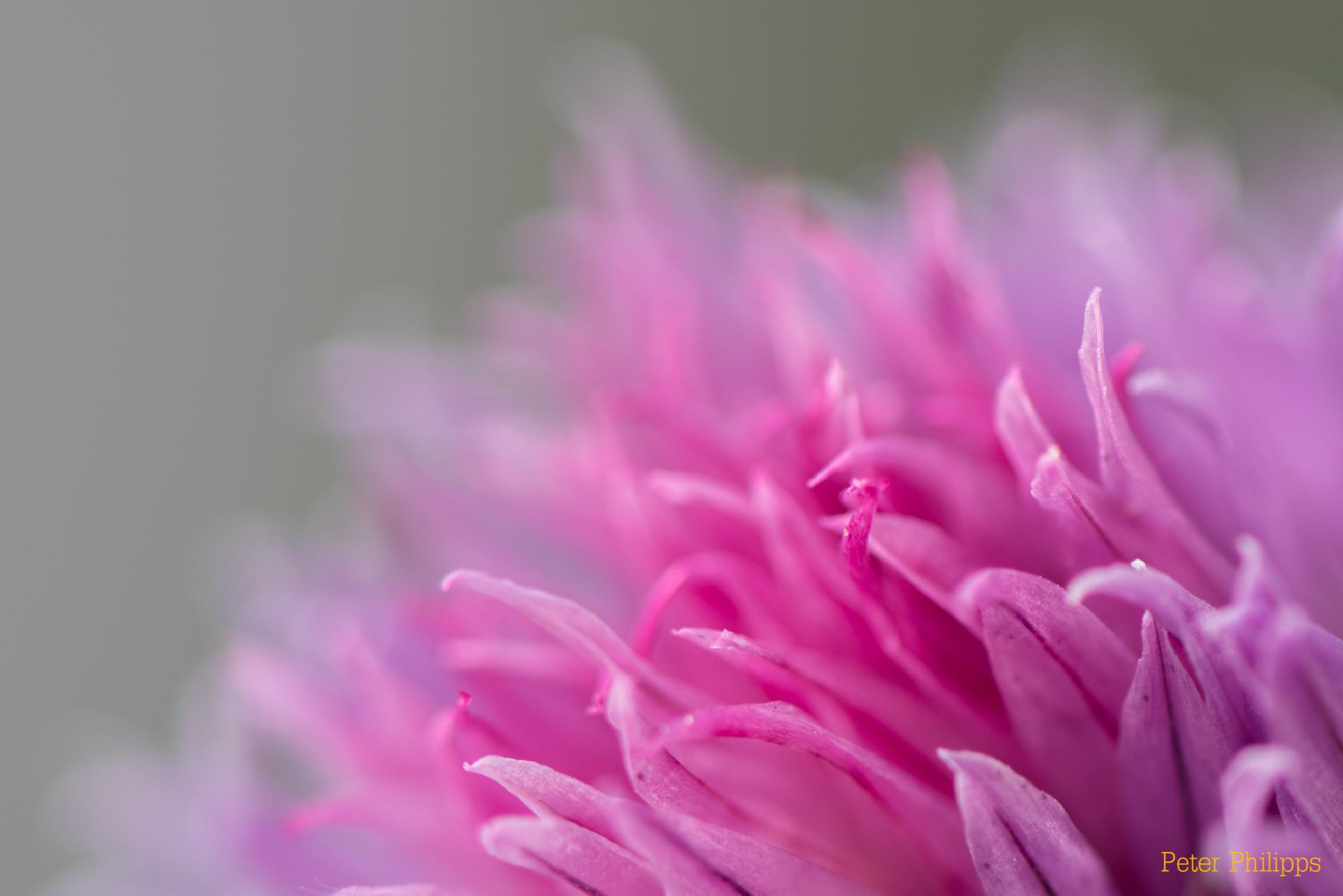 Pink by PeterPhilipps