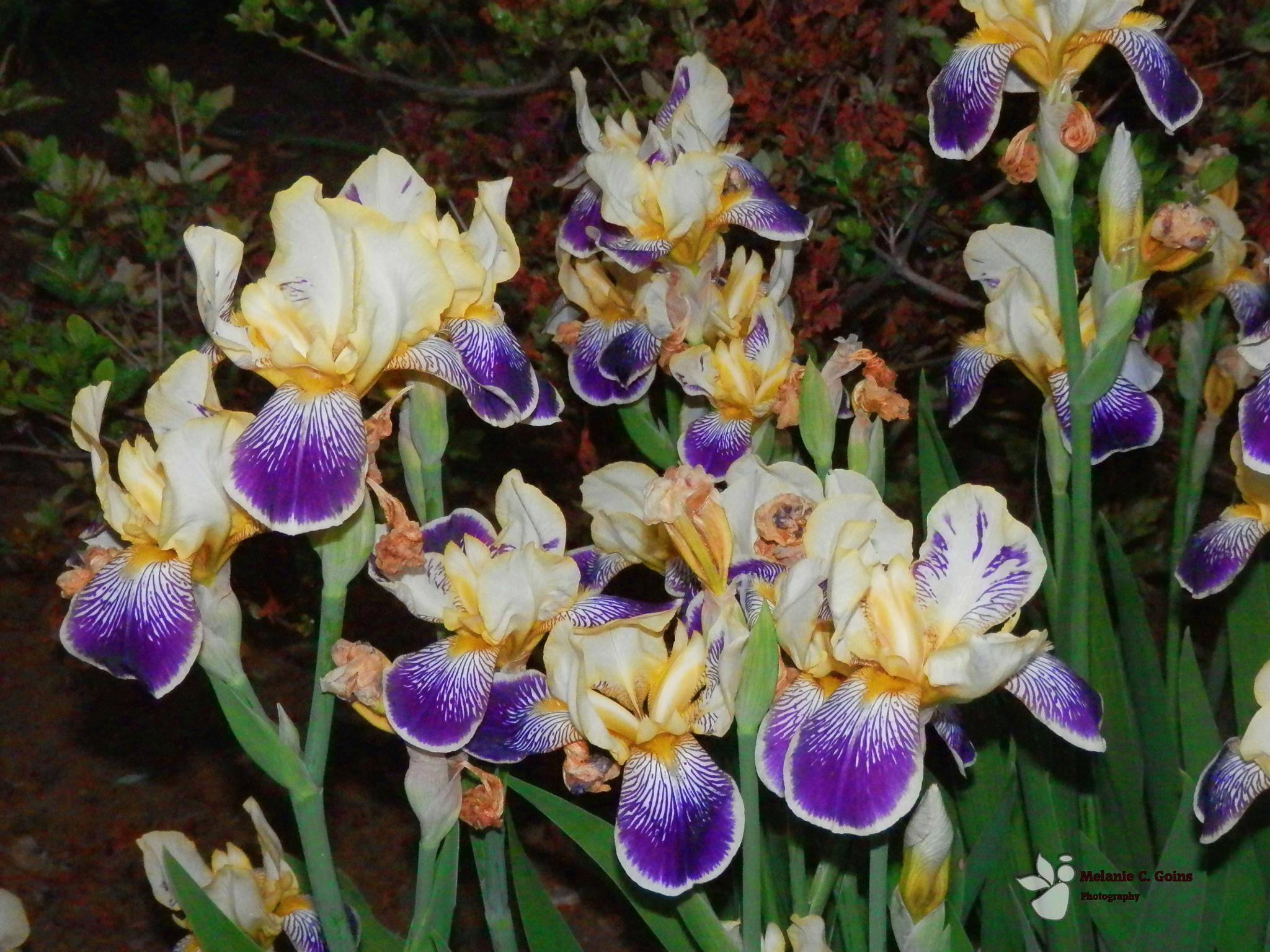 beautiful iris by melanie.goins