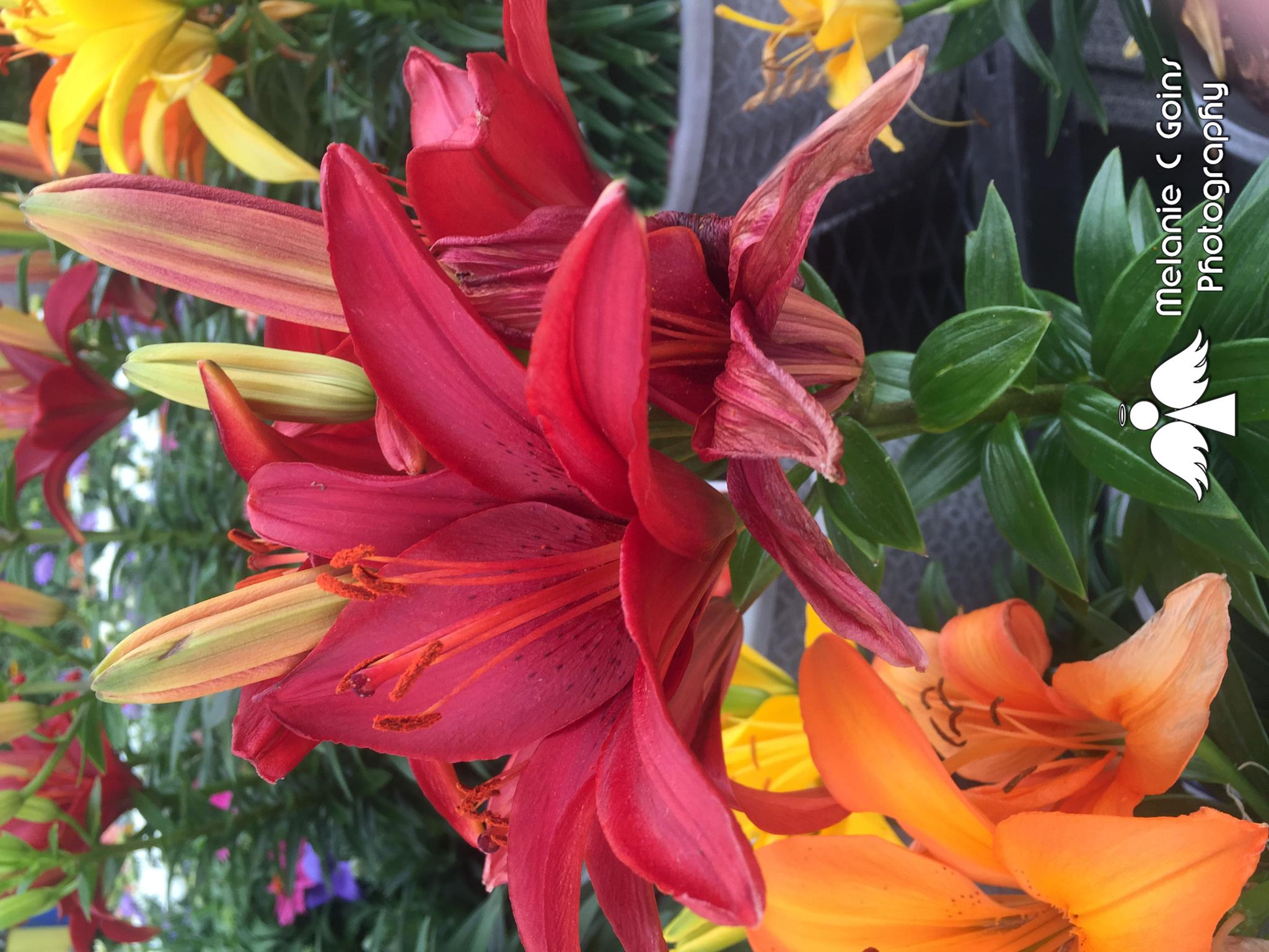 Group Of Lilys by melanie.goins