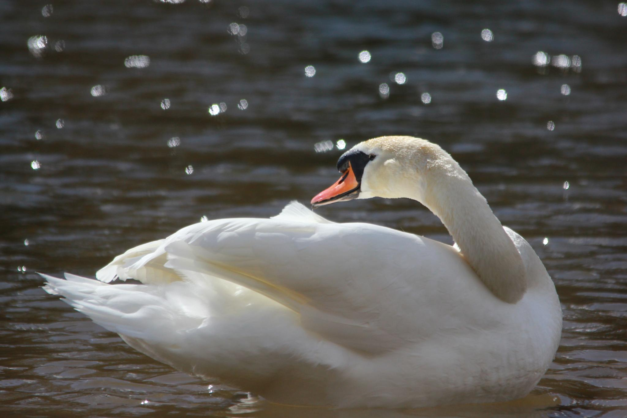 Swan - Don Mouth - Aberdeen by Ross Middleton