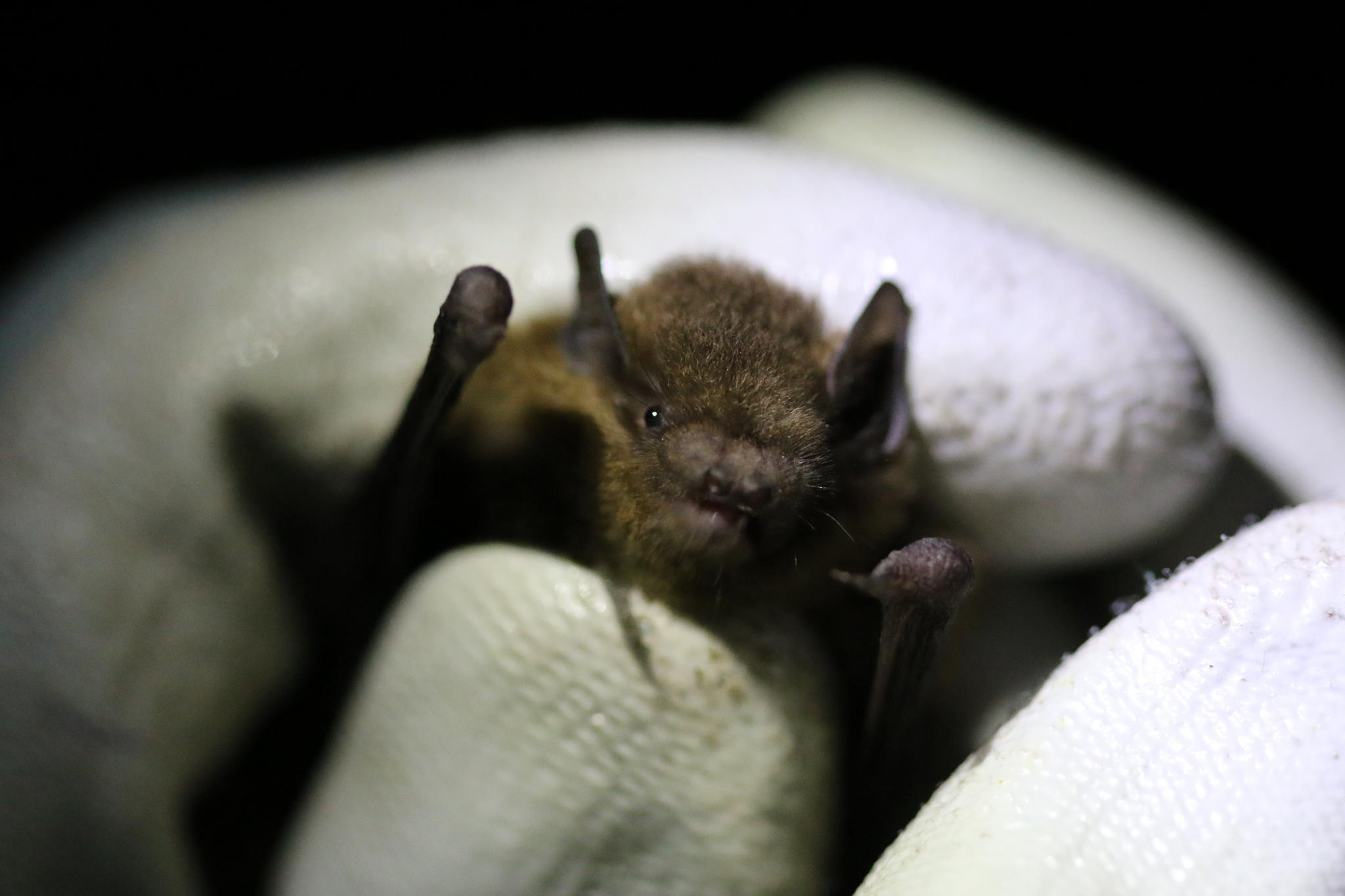 Soprano Pipistrelle Bat by Ross Middleton