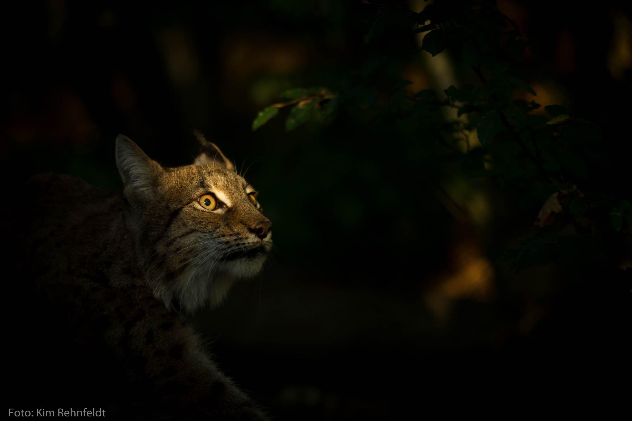 Lynx 4 by Kim Rehnfeldt