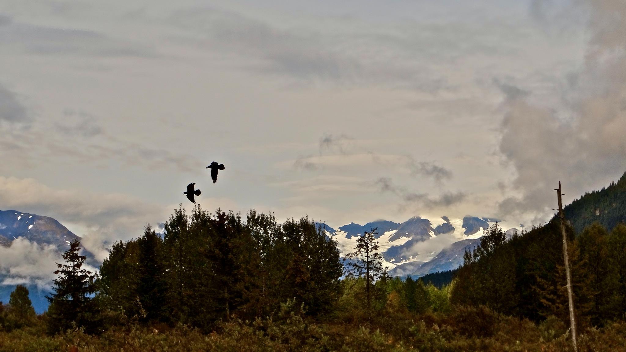 The Ravens of Alaska by gloria.west.12