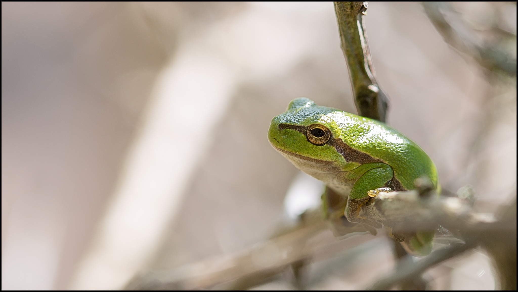 Green tree frog by Alex Verweij