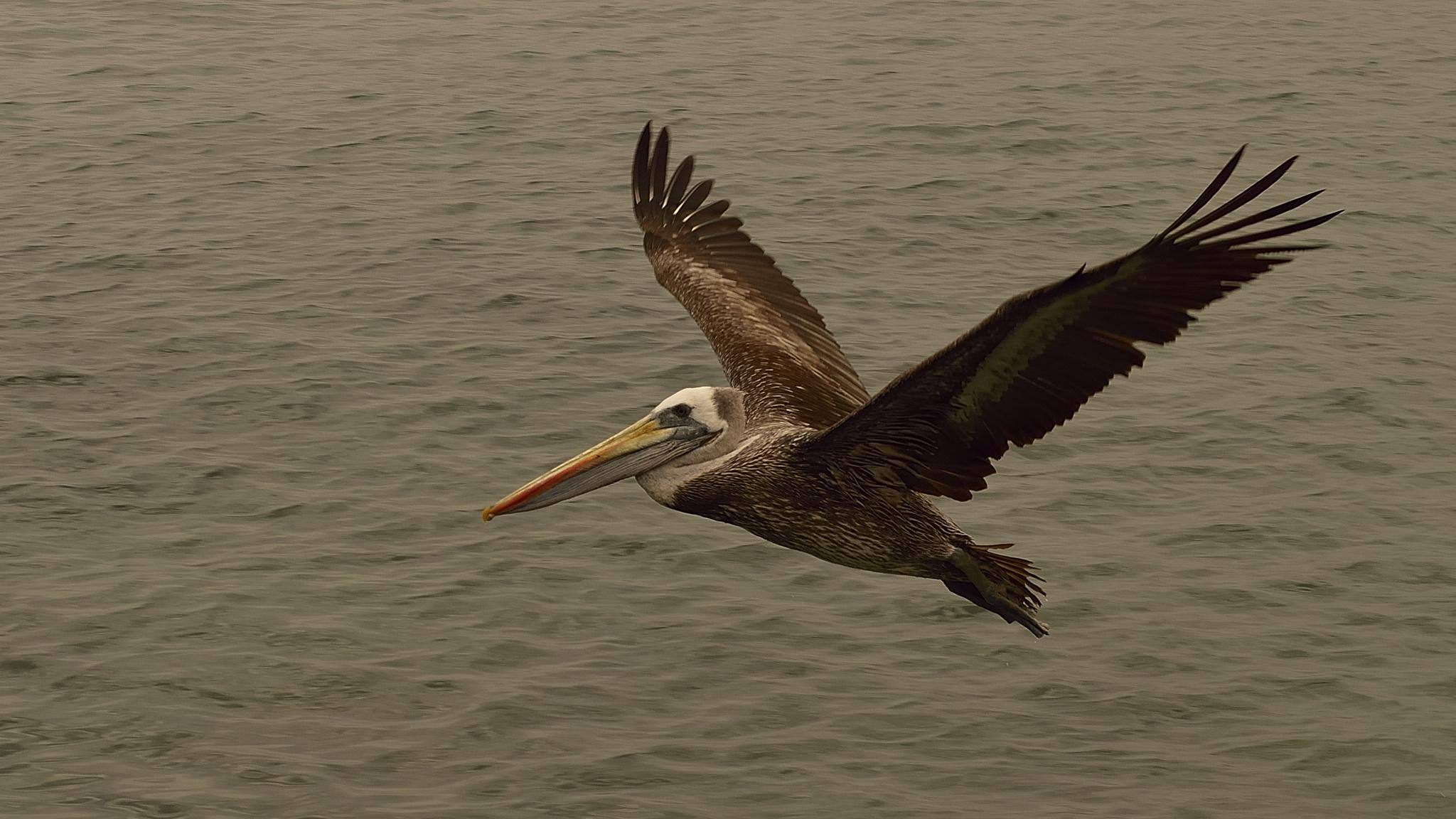 Pelican (5) by milualin2006