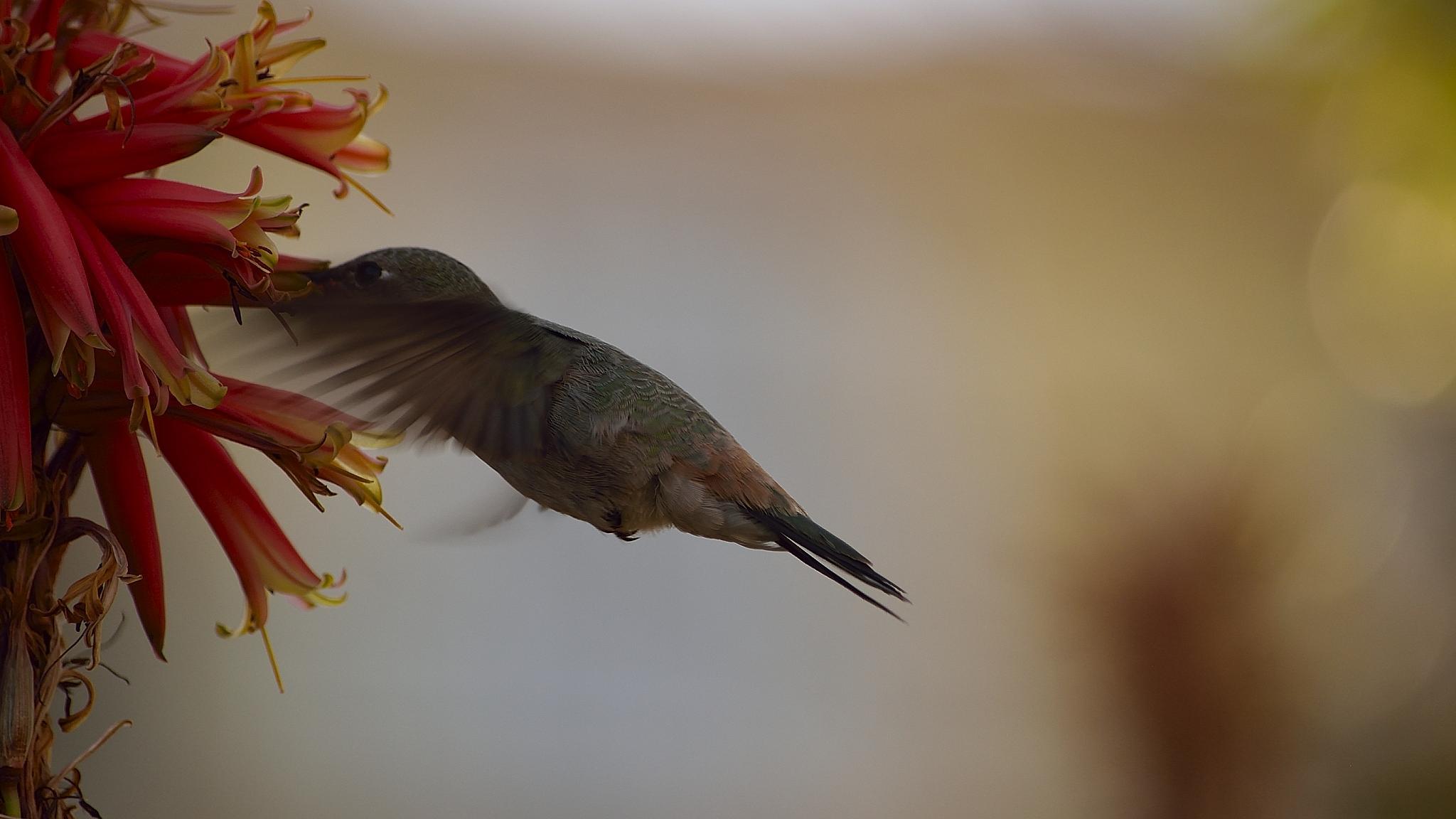 Hummingbirds and aloe vera (14) by milualin2006