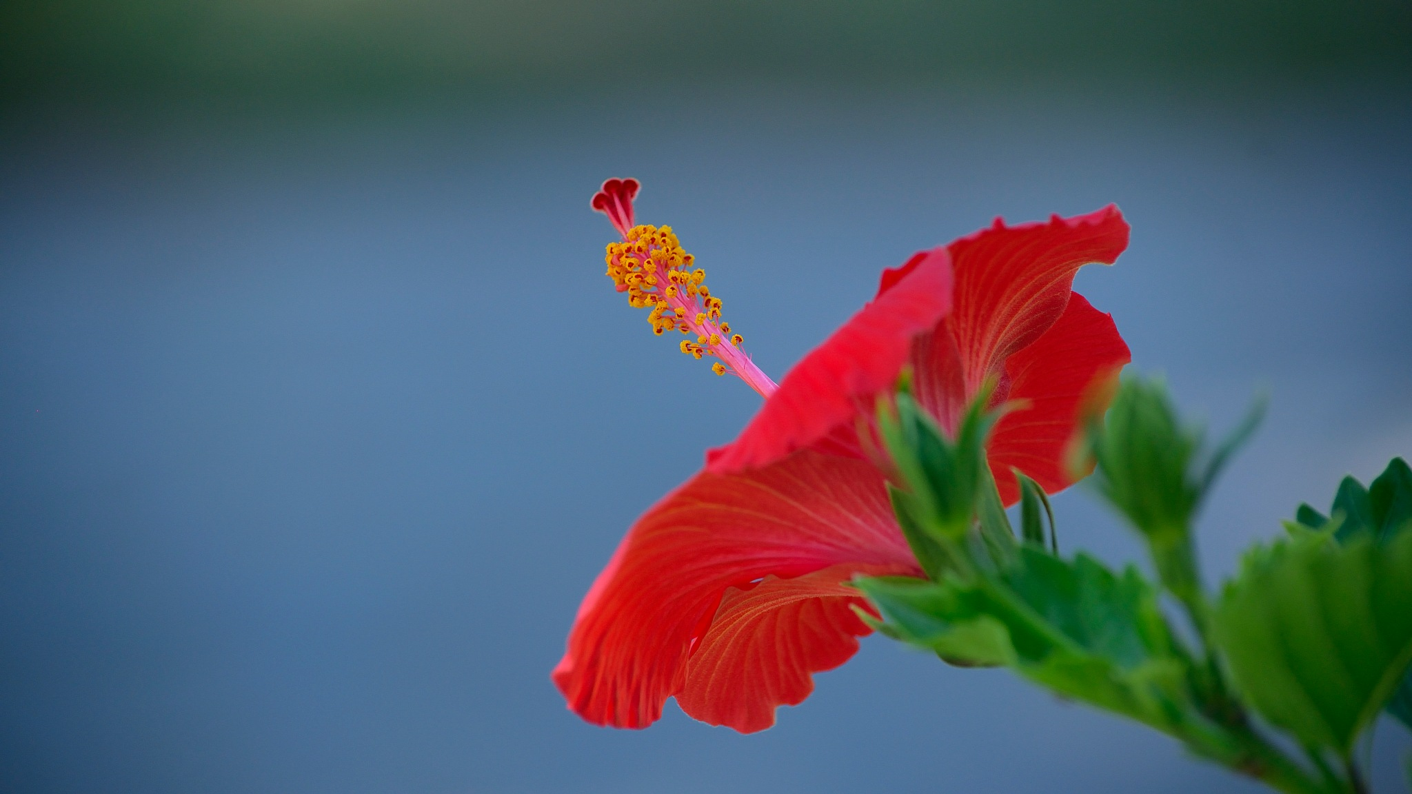 Hibiscus by milualin2006