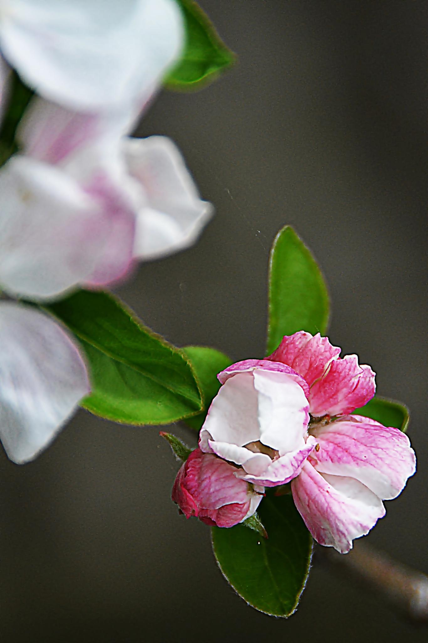 Budding flower by Antonio Pronto