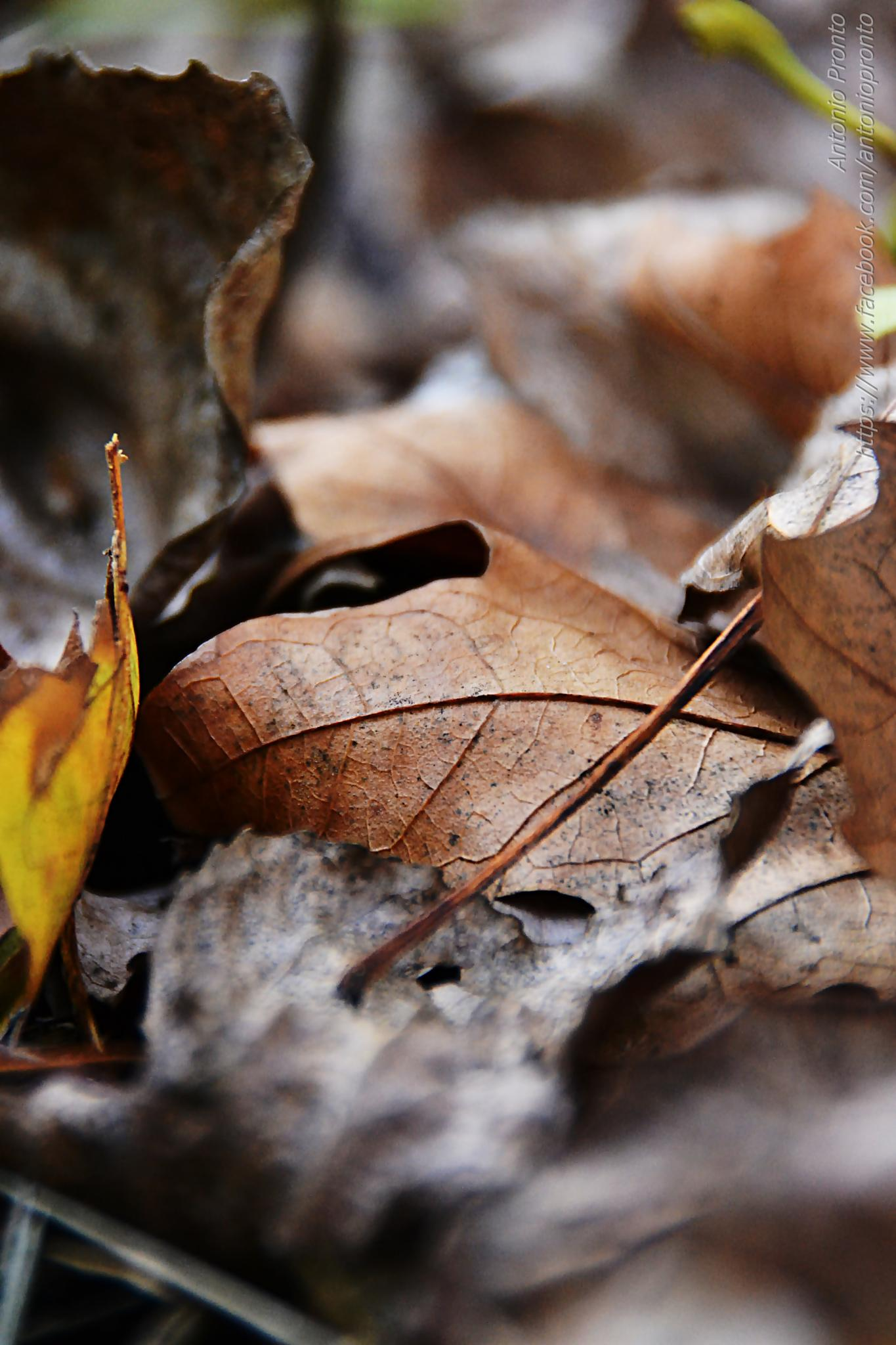 dry leaves by Antonio Pronto