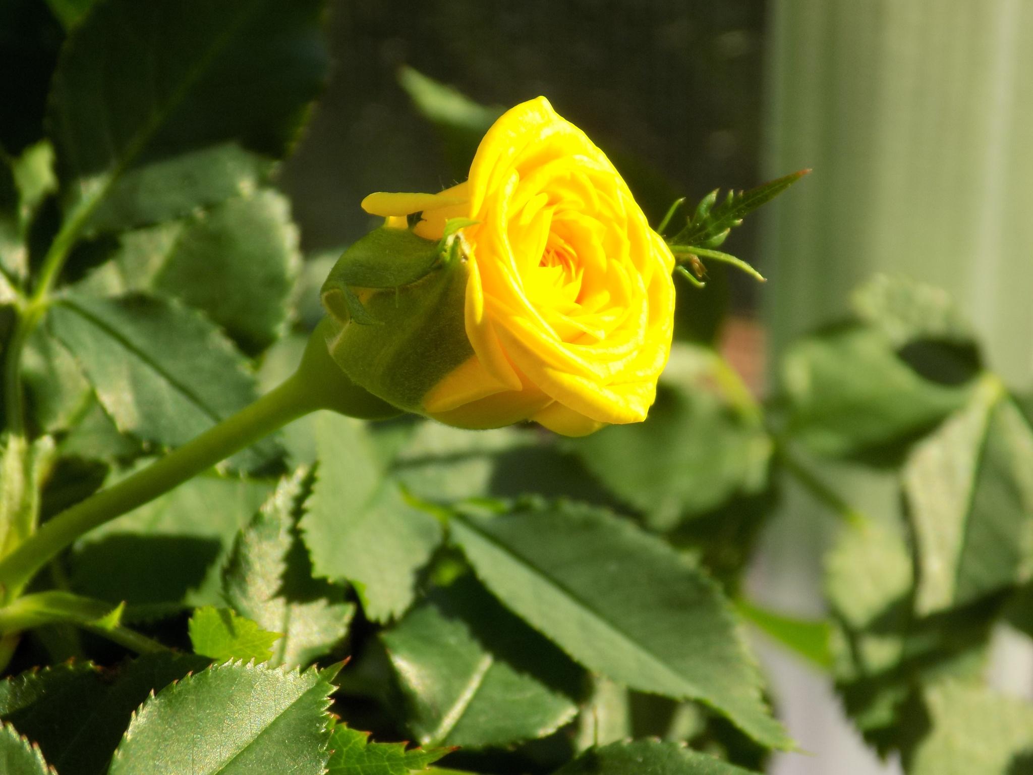 rosebud by galepiper