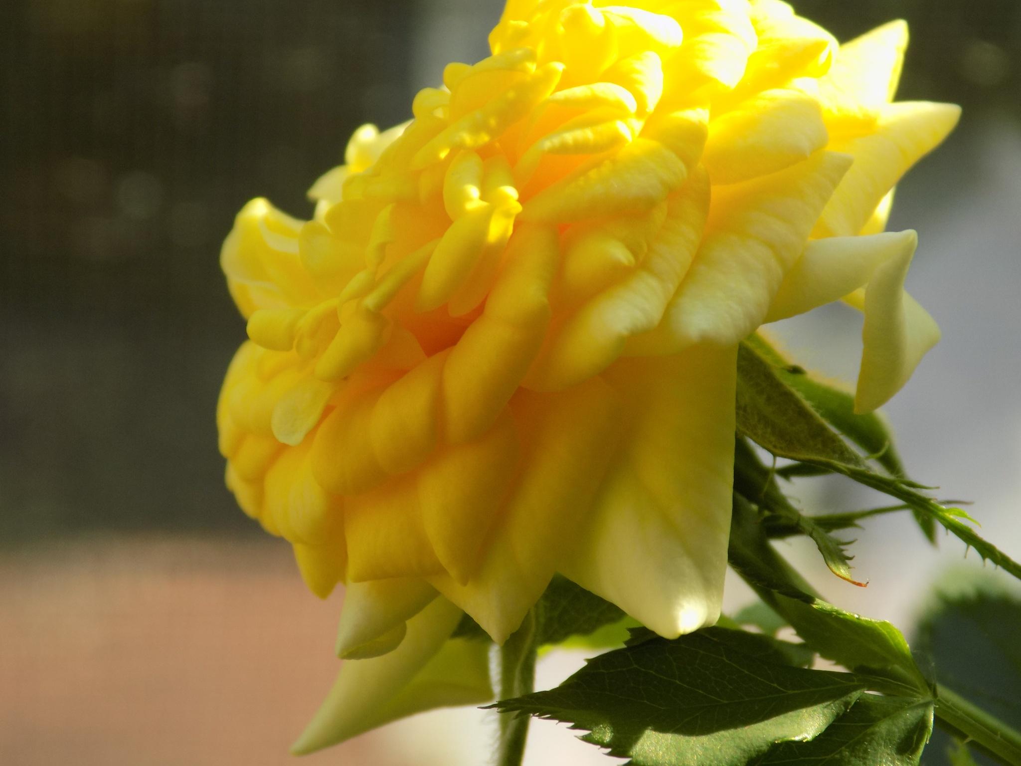 tea rose 2 by galepiper