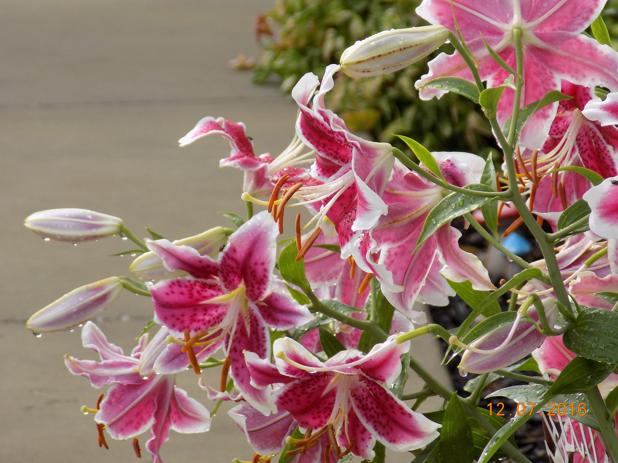 lilies after the rain shower by galepiper