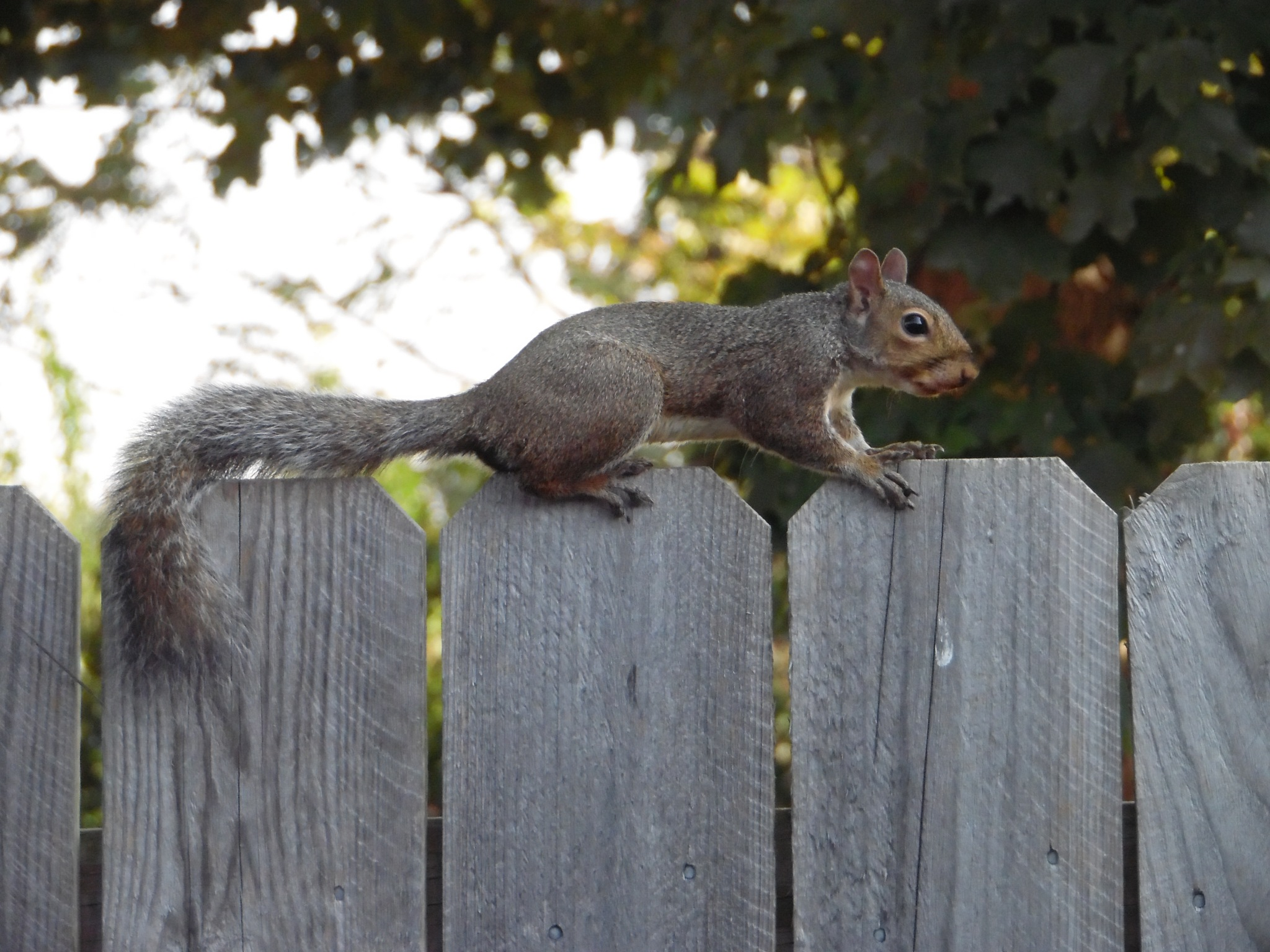 squirrel on the fence by galepiper