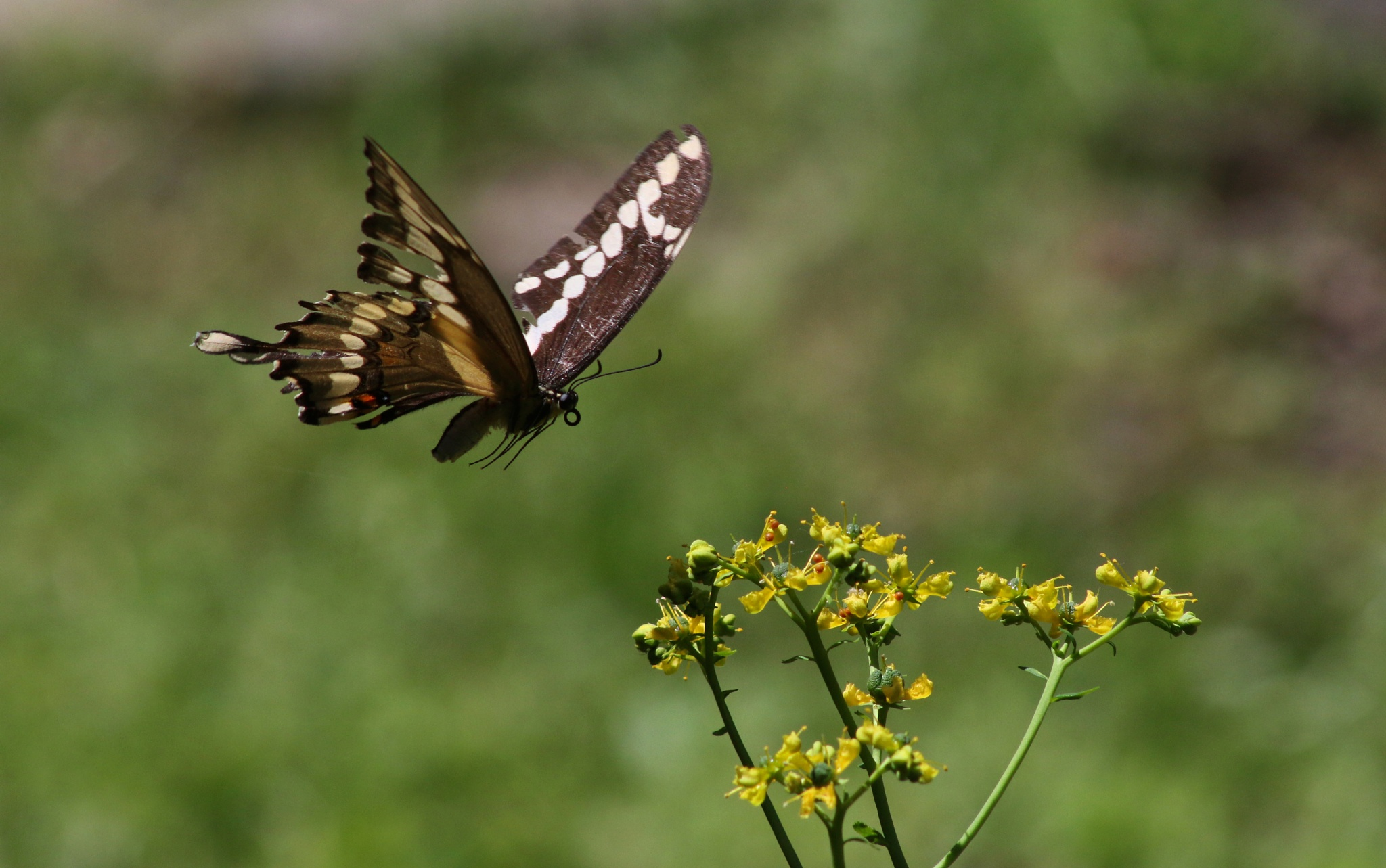 Photo in Nature #butterfly #swallowtail #black #yellow #nature