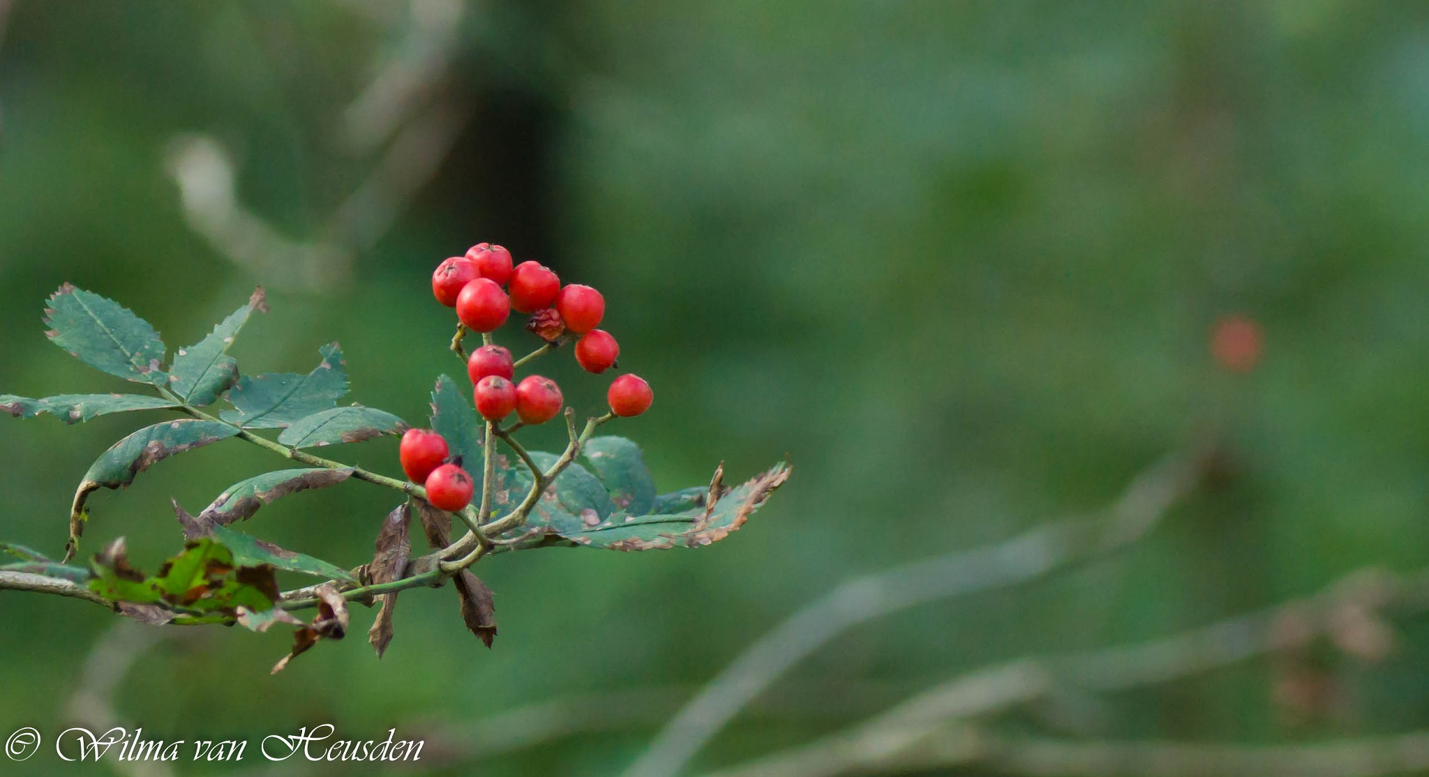 red berry by wilma van heusden