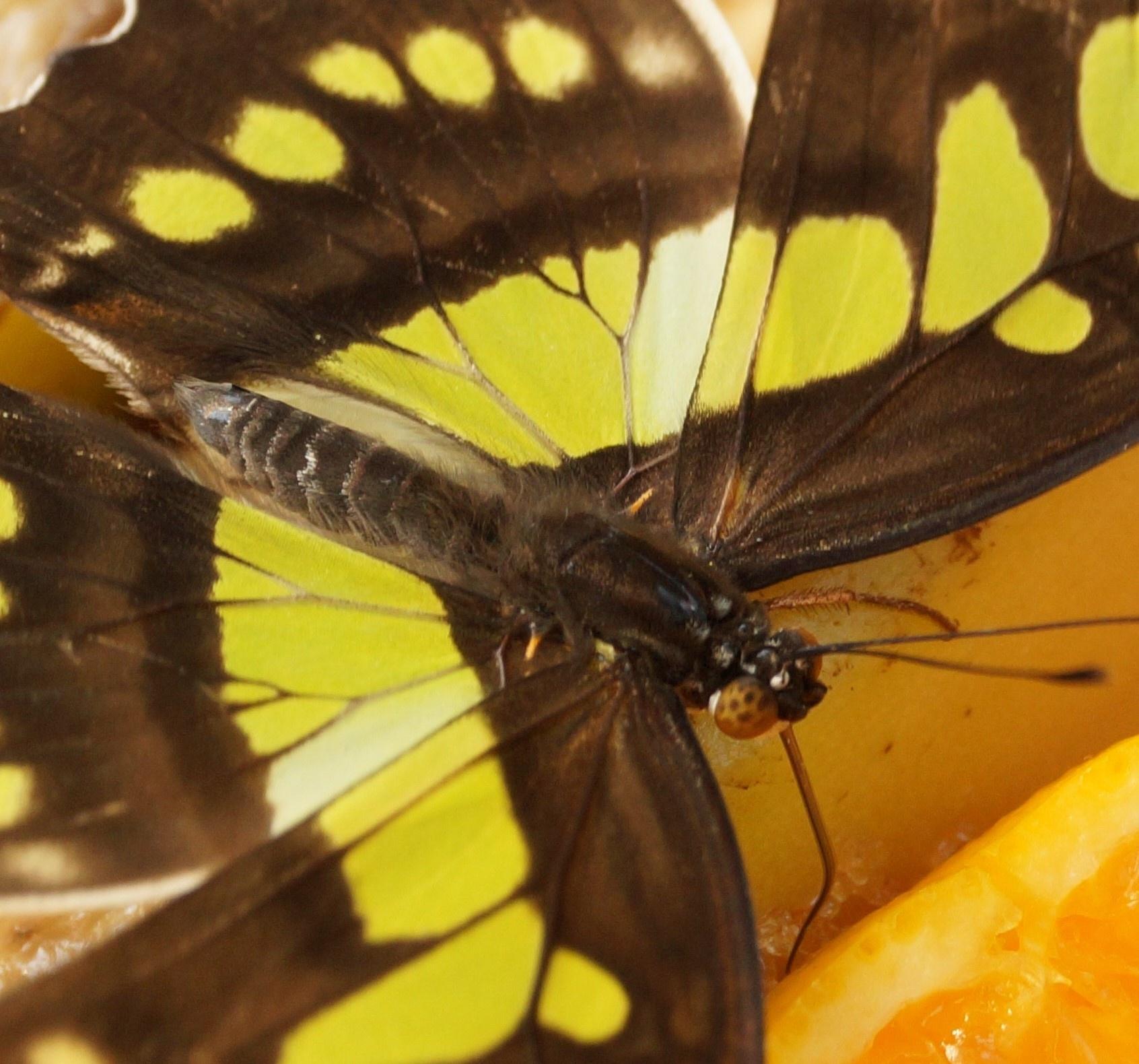 Photo in Macro #malachite butterfly #eyes