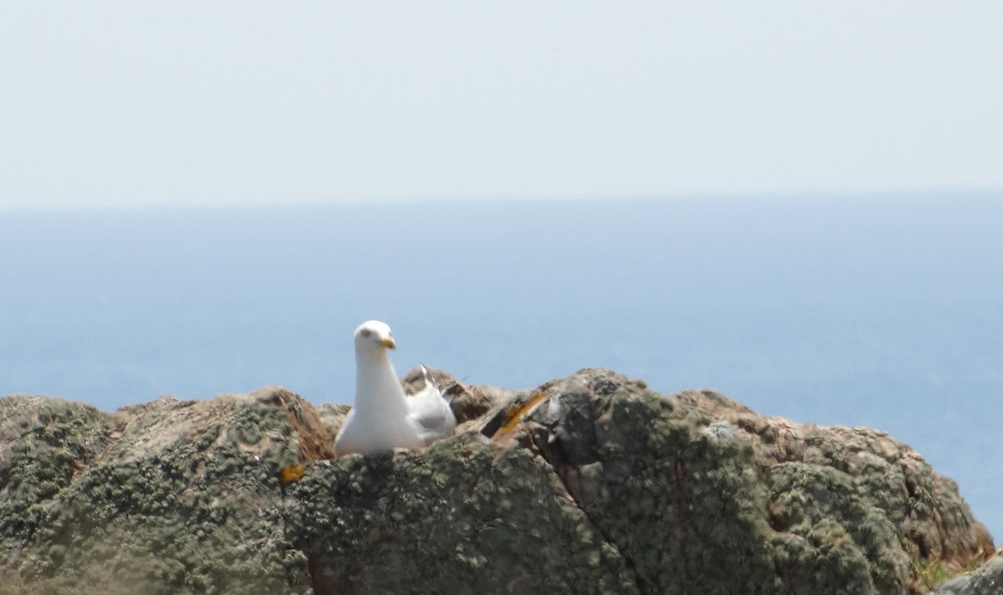 nesting seagull by wilma van heusden