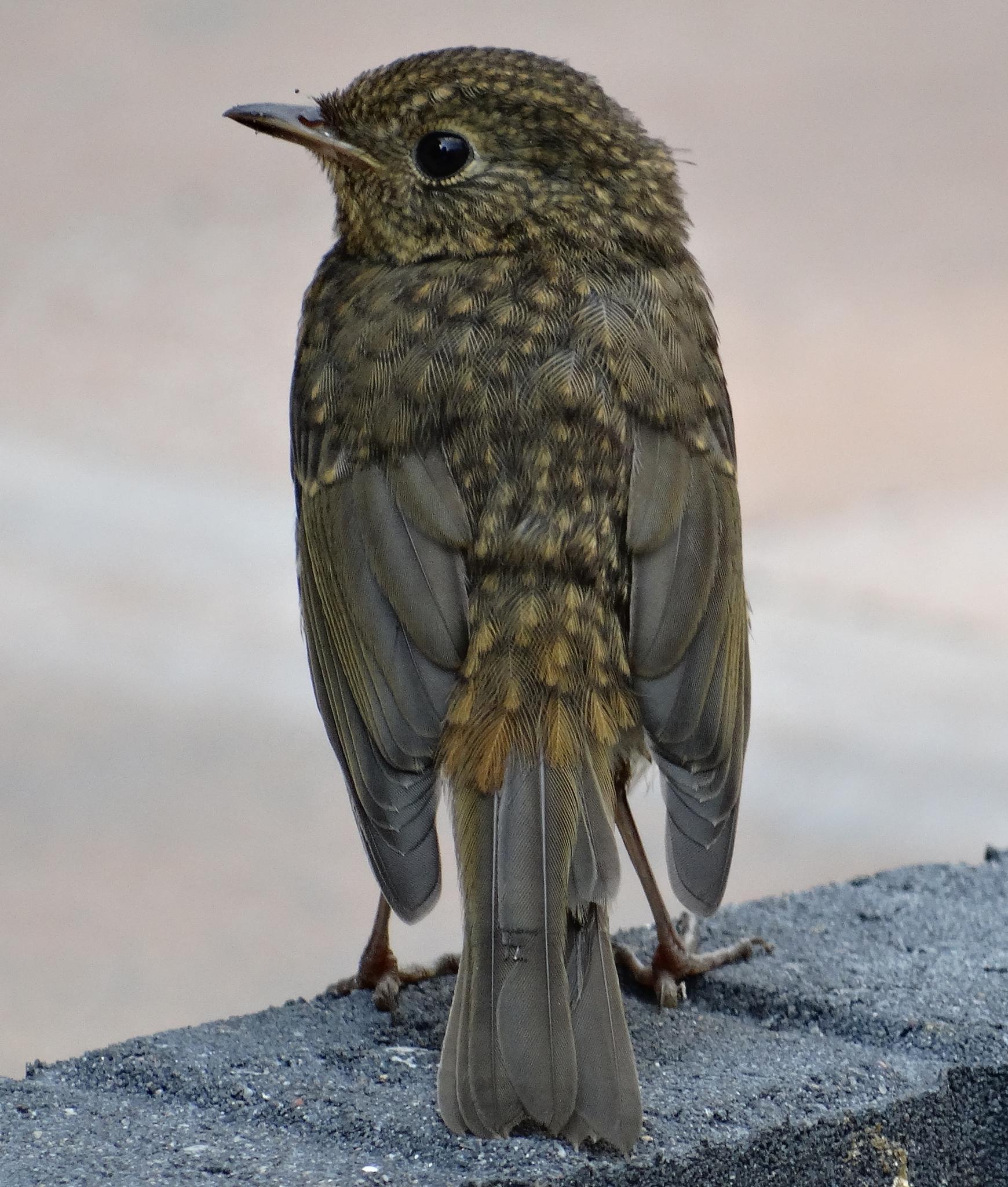 young blackbird by wilma van heusden