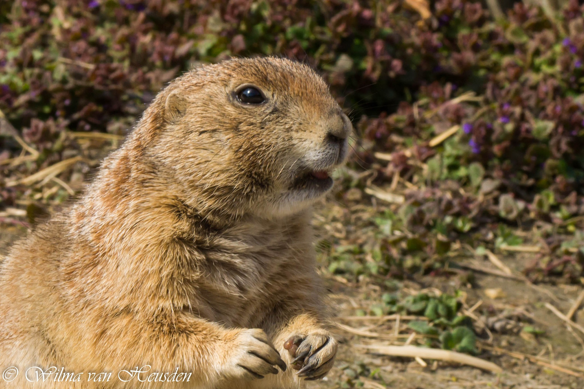 prairie dog by wilma van heusden