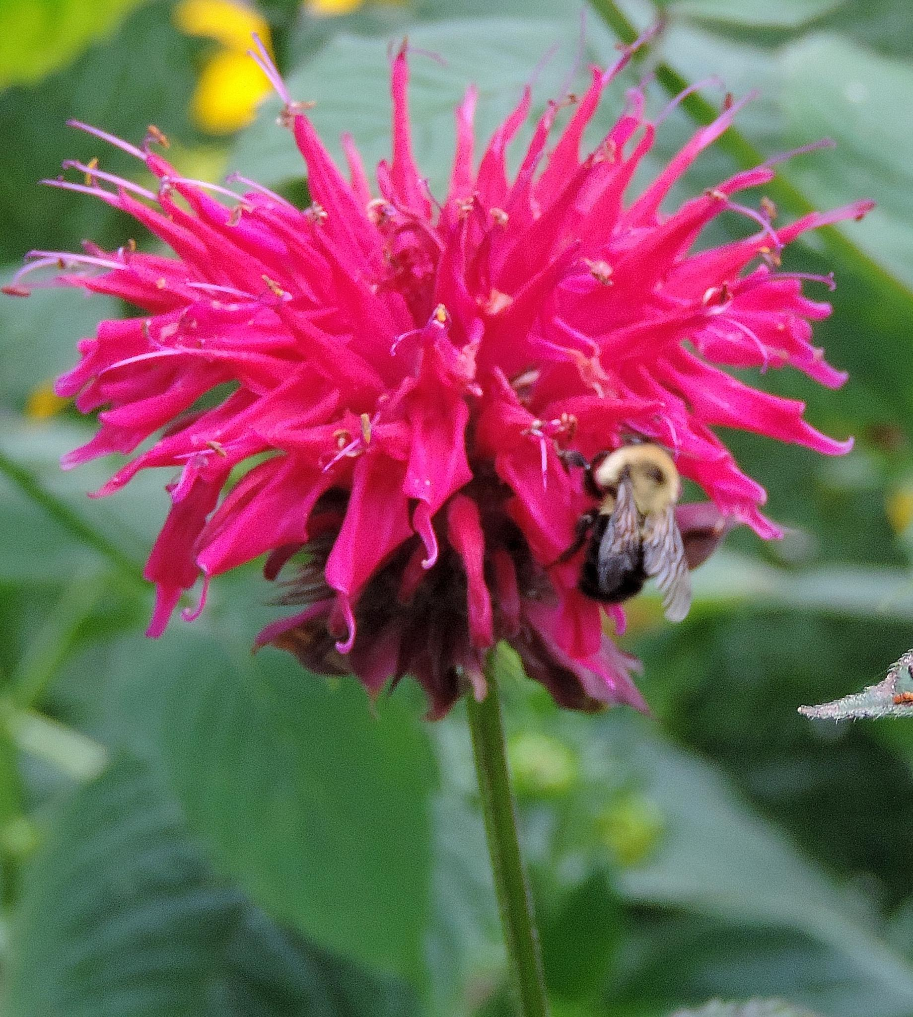 Bumble Bee on the Bee Balm by Jennifer  Young Ward