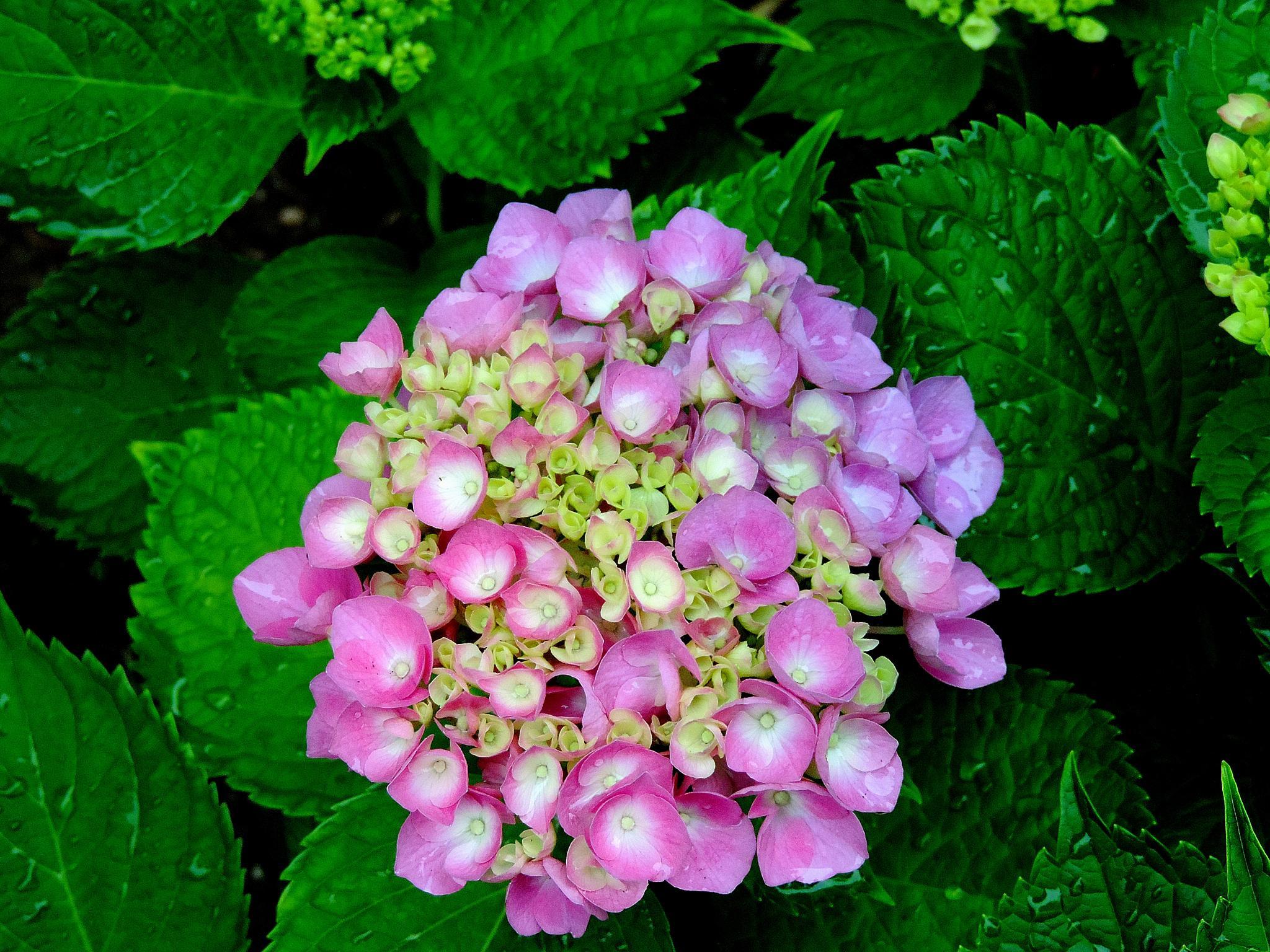 Photo in Nature #hydrangea #flower #pink #rain #nature