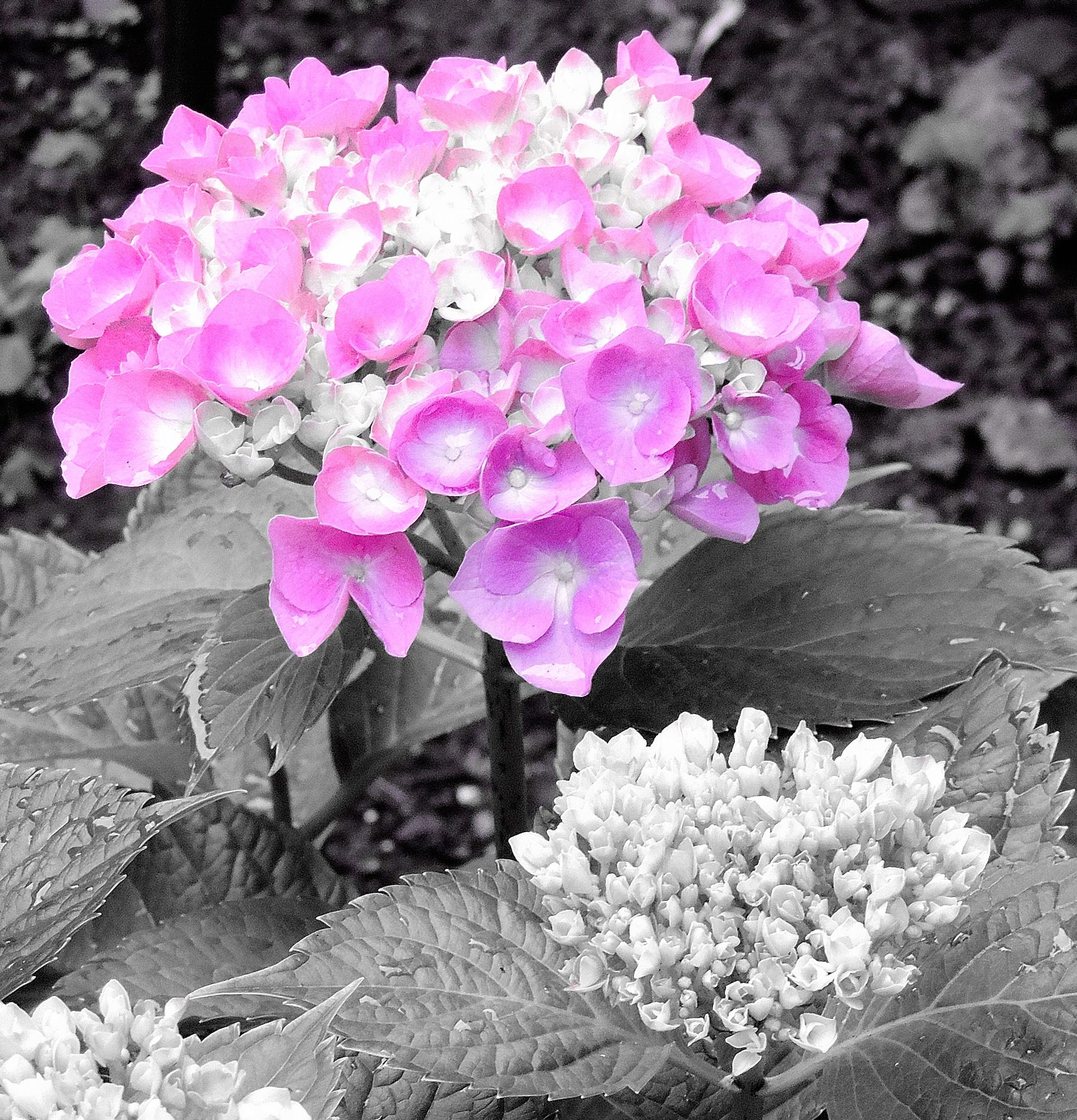 Hydrangea #2 by Jennifer  Young Ward
