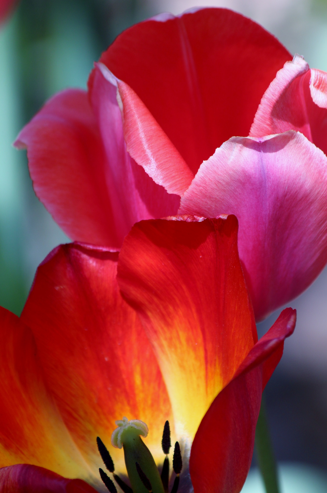 Tulip Opens by Each Frame