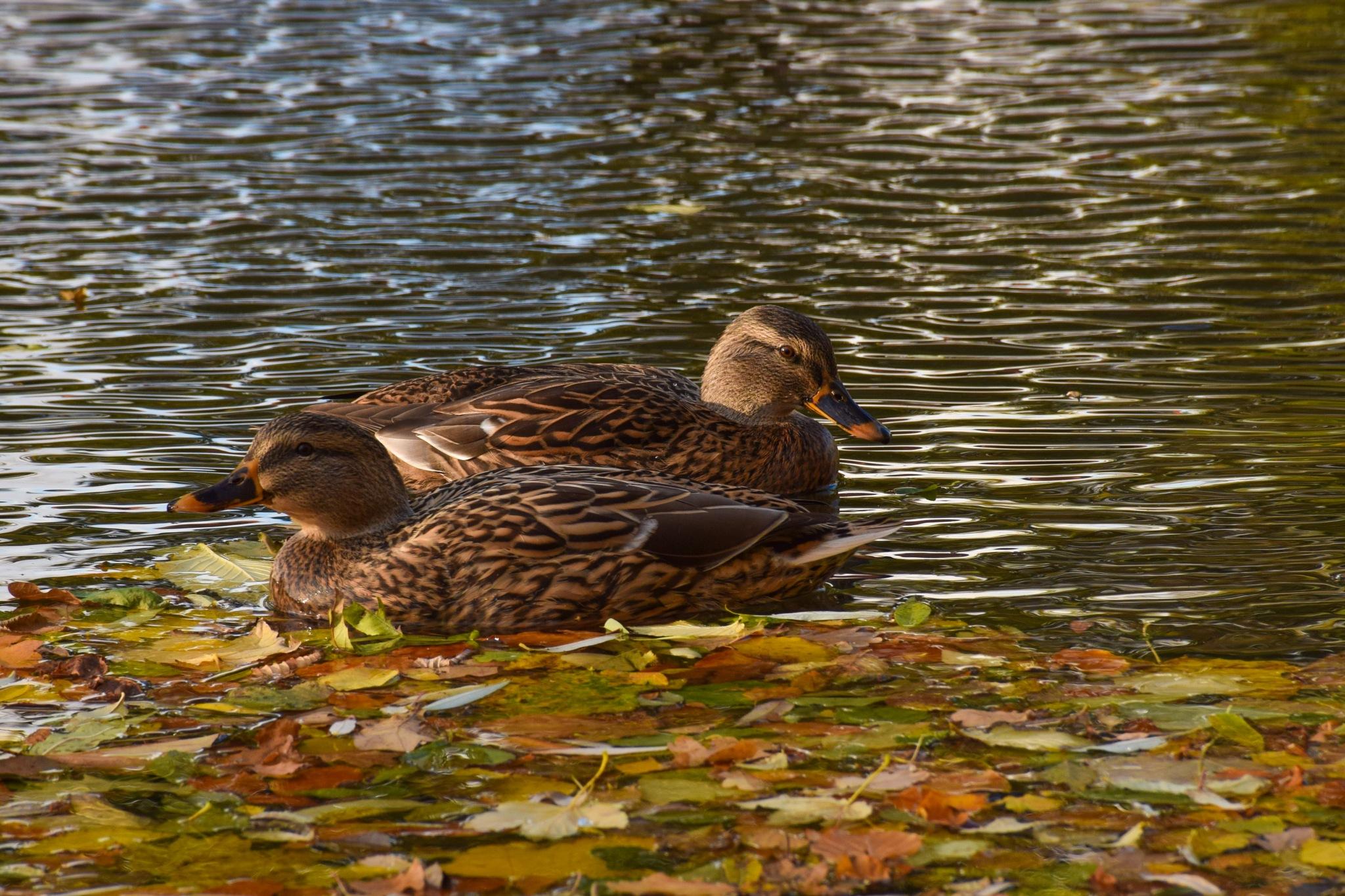 Ducks by lafriha