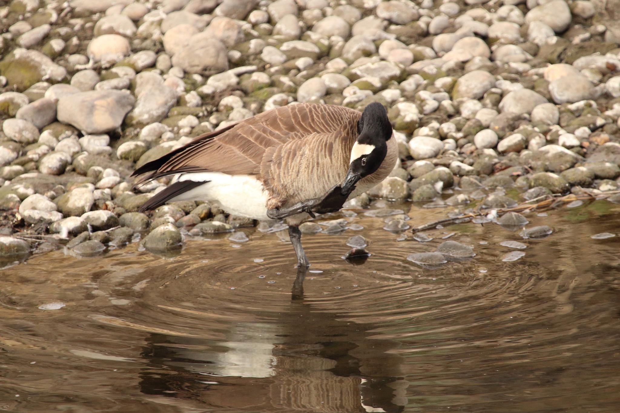 Canada Goose by daniel.luna.77920