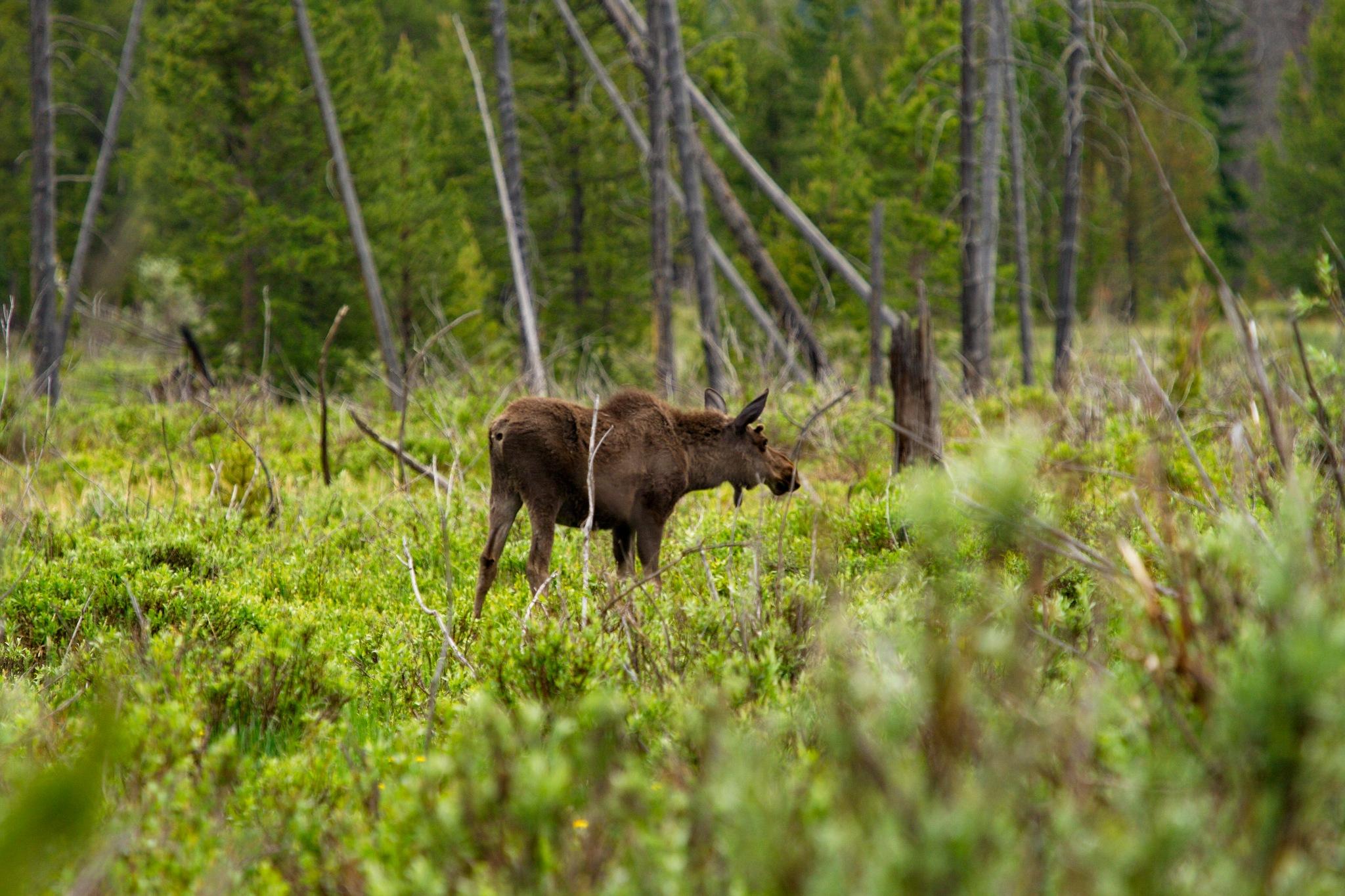 Young Bull Moose by daniel.luna.77920
